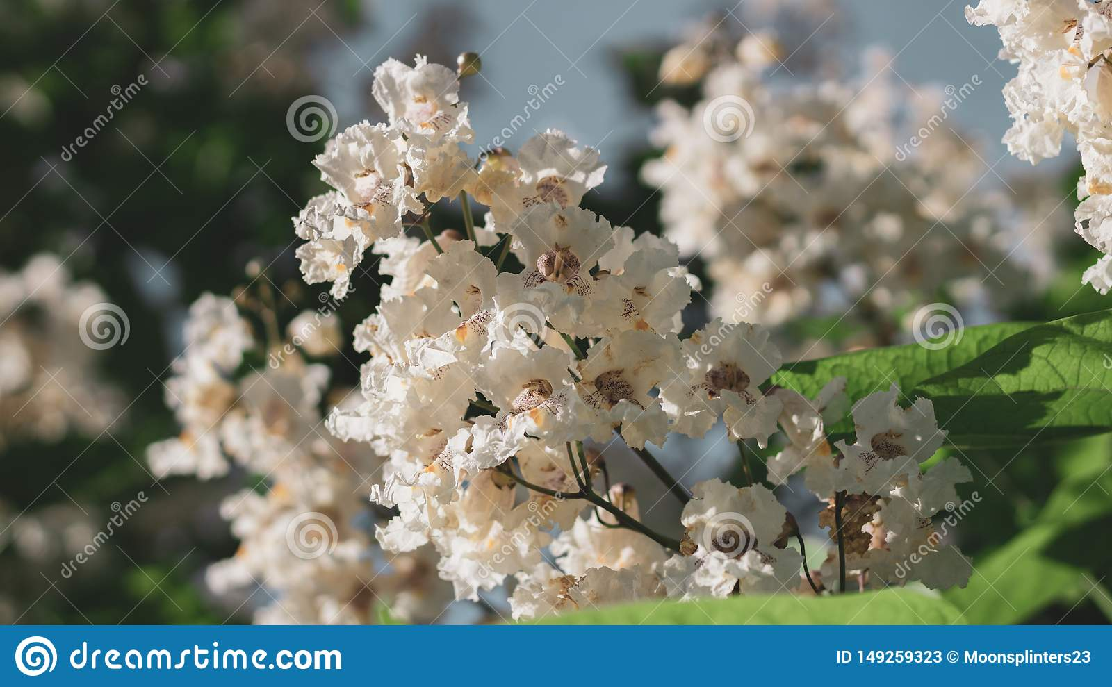 Big tree with white flowers. Flowers catalpa or catawba. East Asia and North America flowering plants