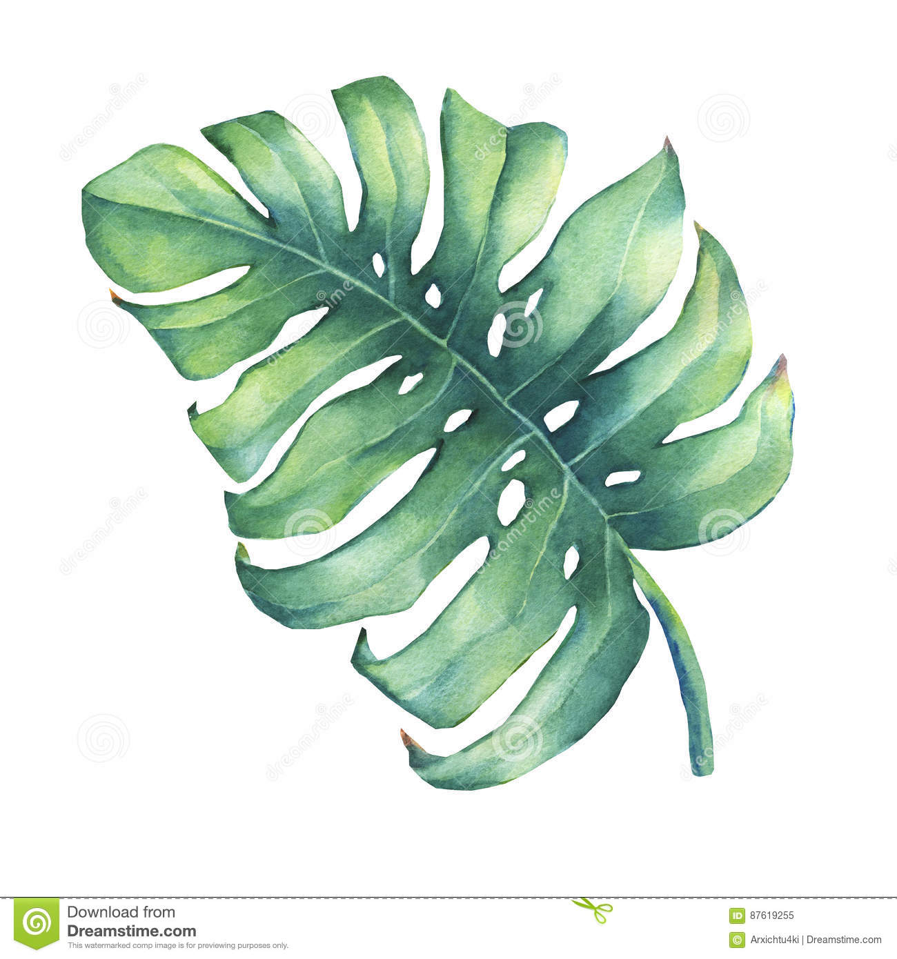 Big tropical green leaf of Monstera plant.