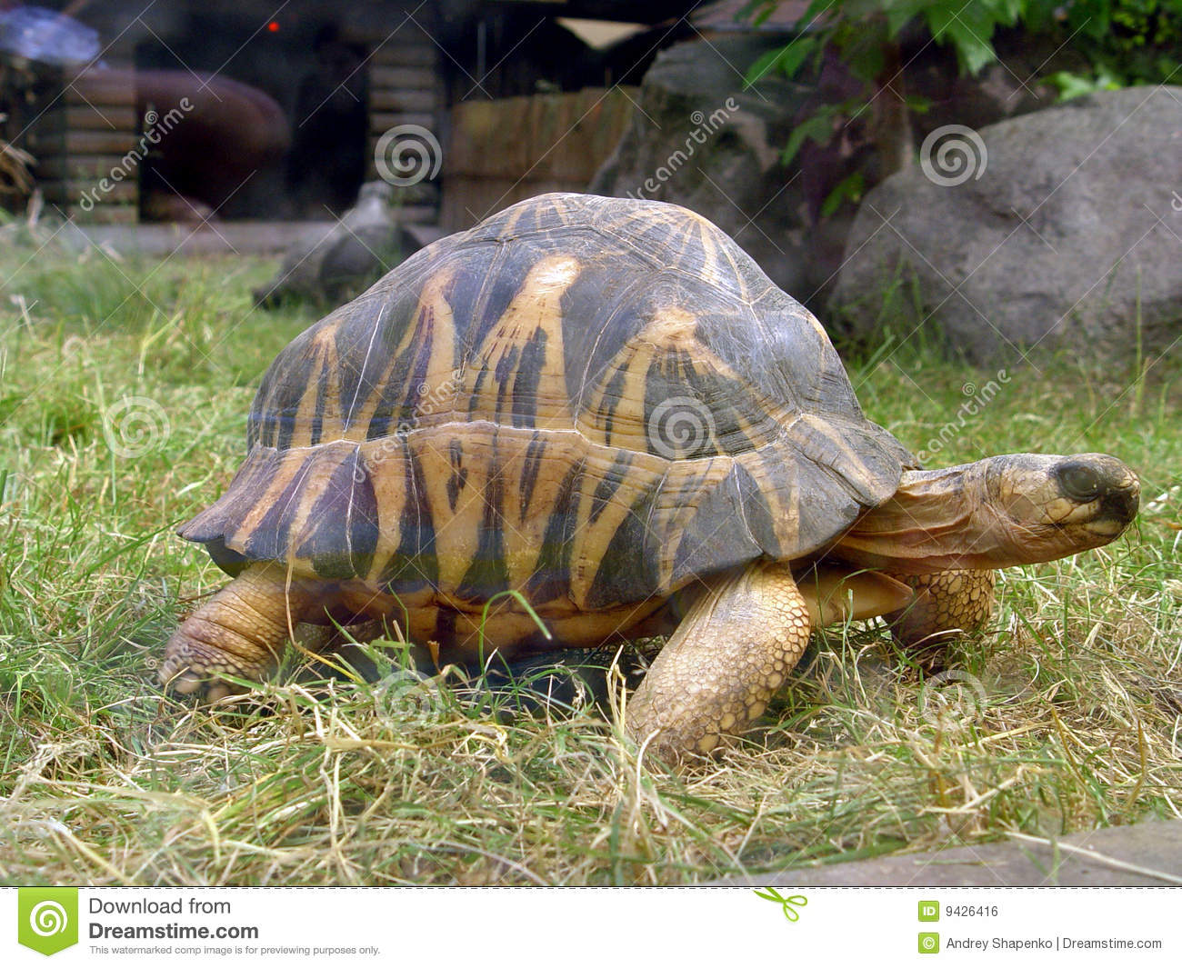 big turtle stock photo  image of himself  african  hare