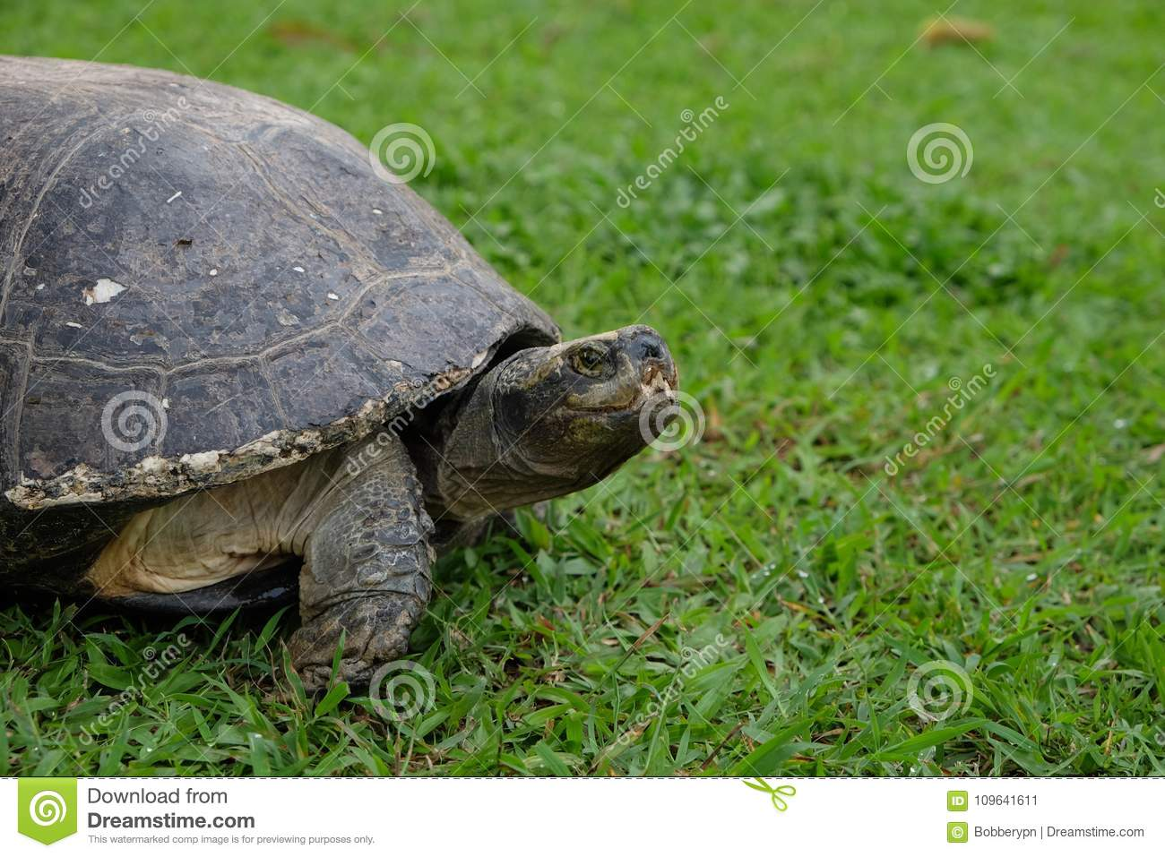 Big Turtle On The Green Grass Stock Image