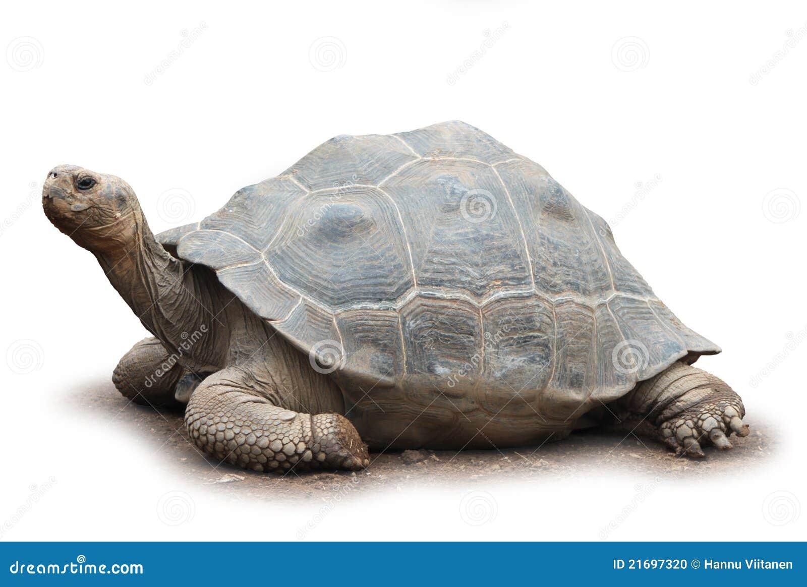 Big turtle isolated