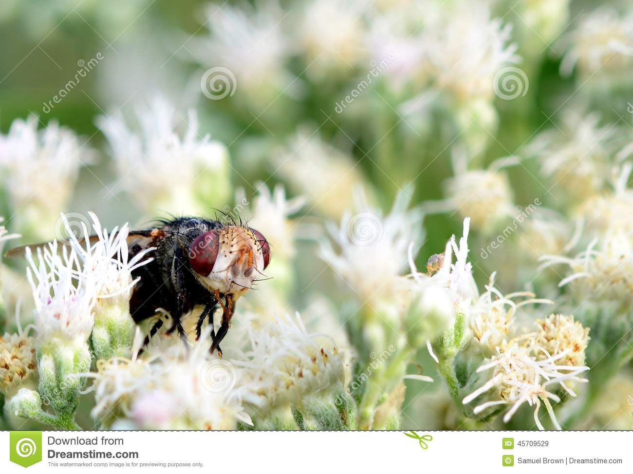 A Big Ugly Fly In Some Beautiful White Flowers Stock Image