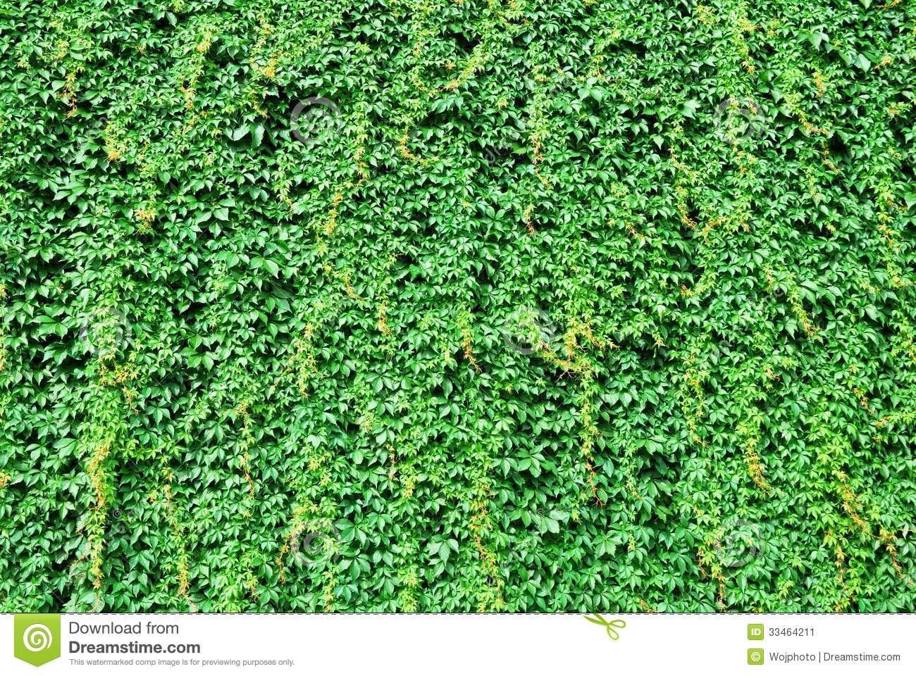 Big Wall Covered By Green Ivy Leaves Stock Image Image