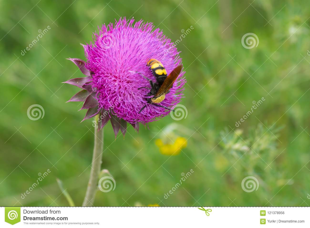 Big wasp sucking nectar on a thistle flower