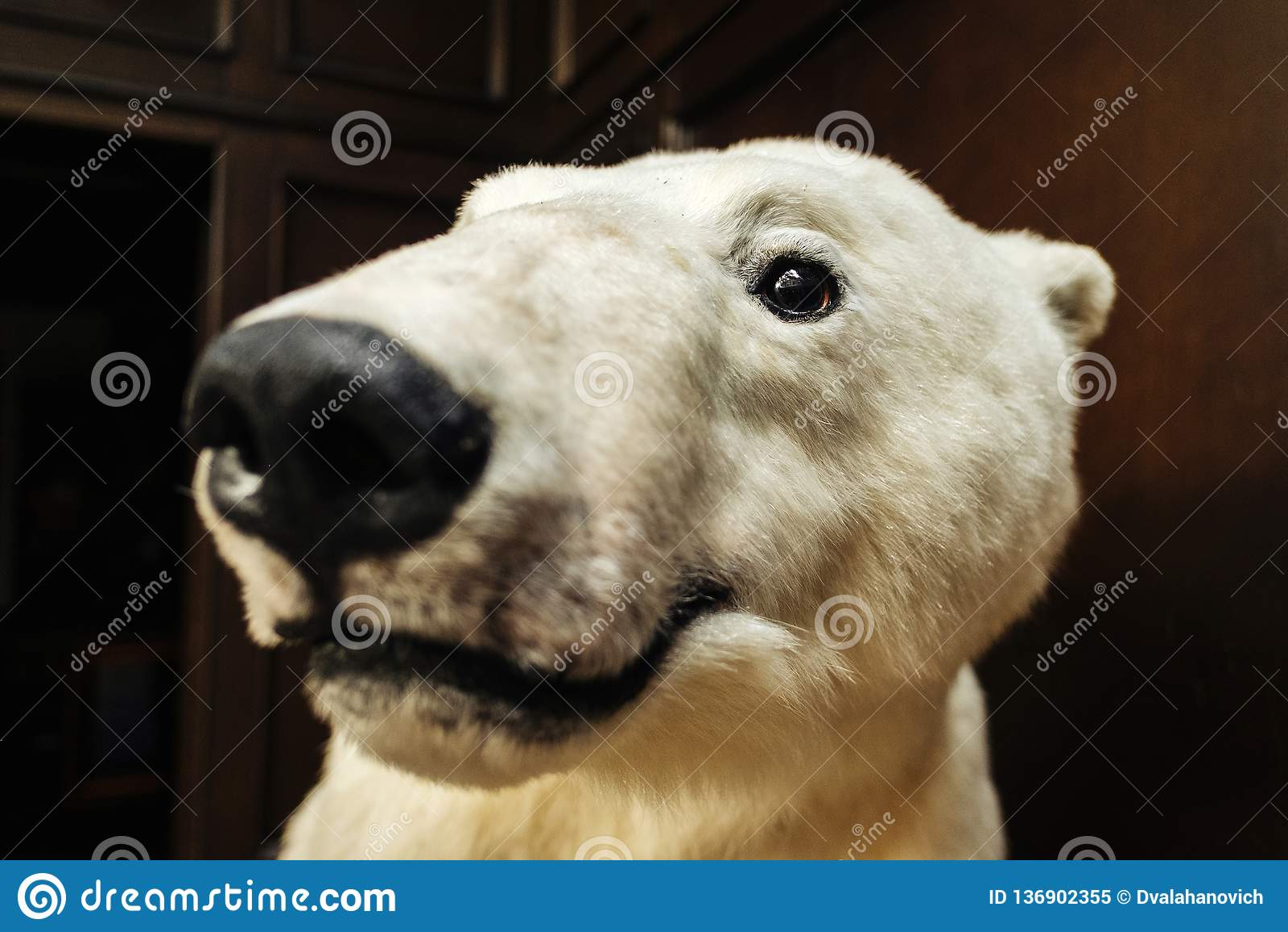 Big white bear looks at camera