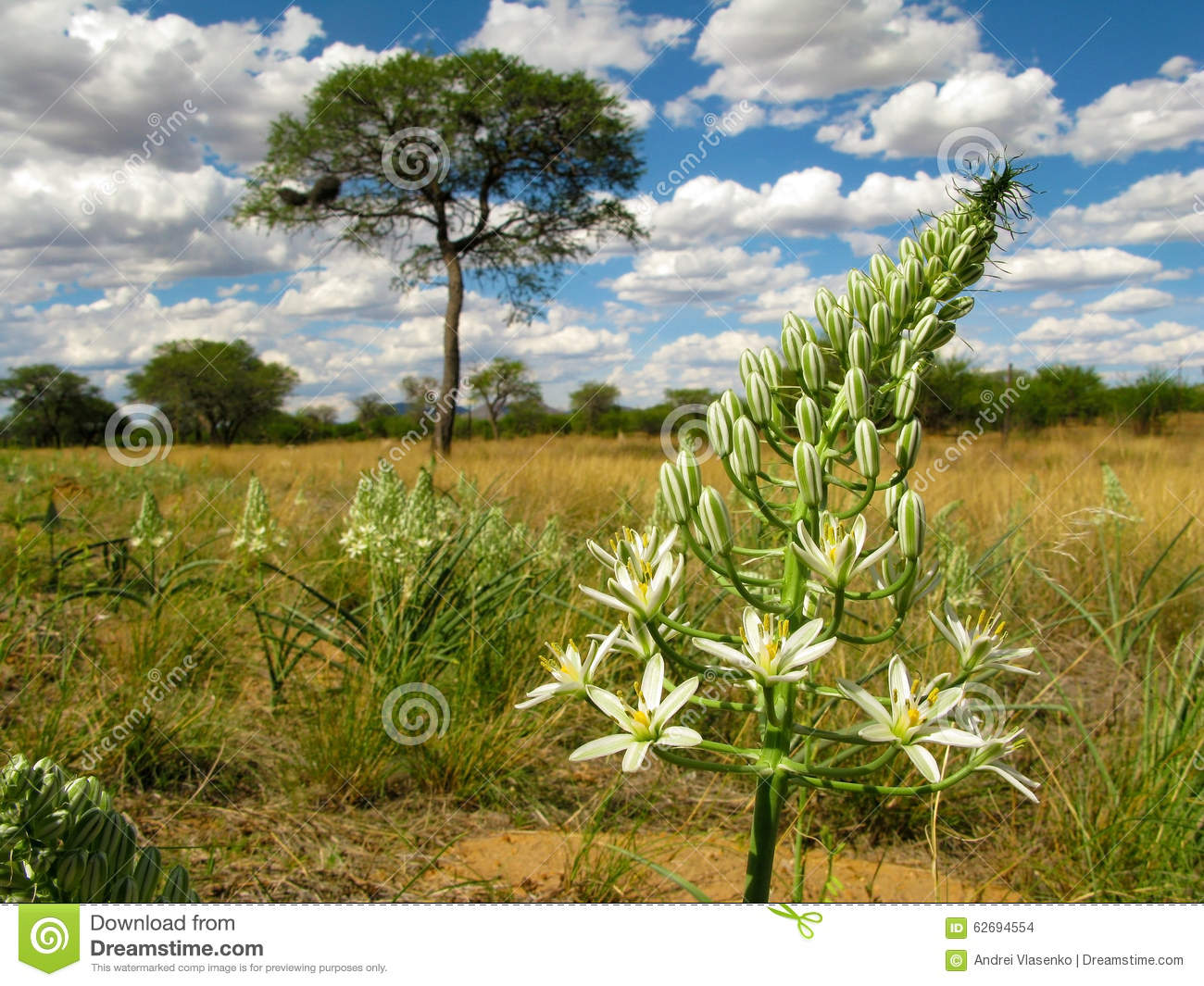 Big White Flower With A Savannah Landscape With Camel Thorn Acacia