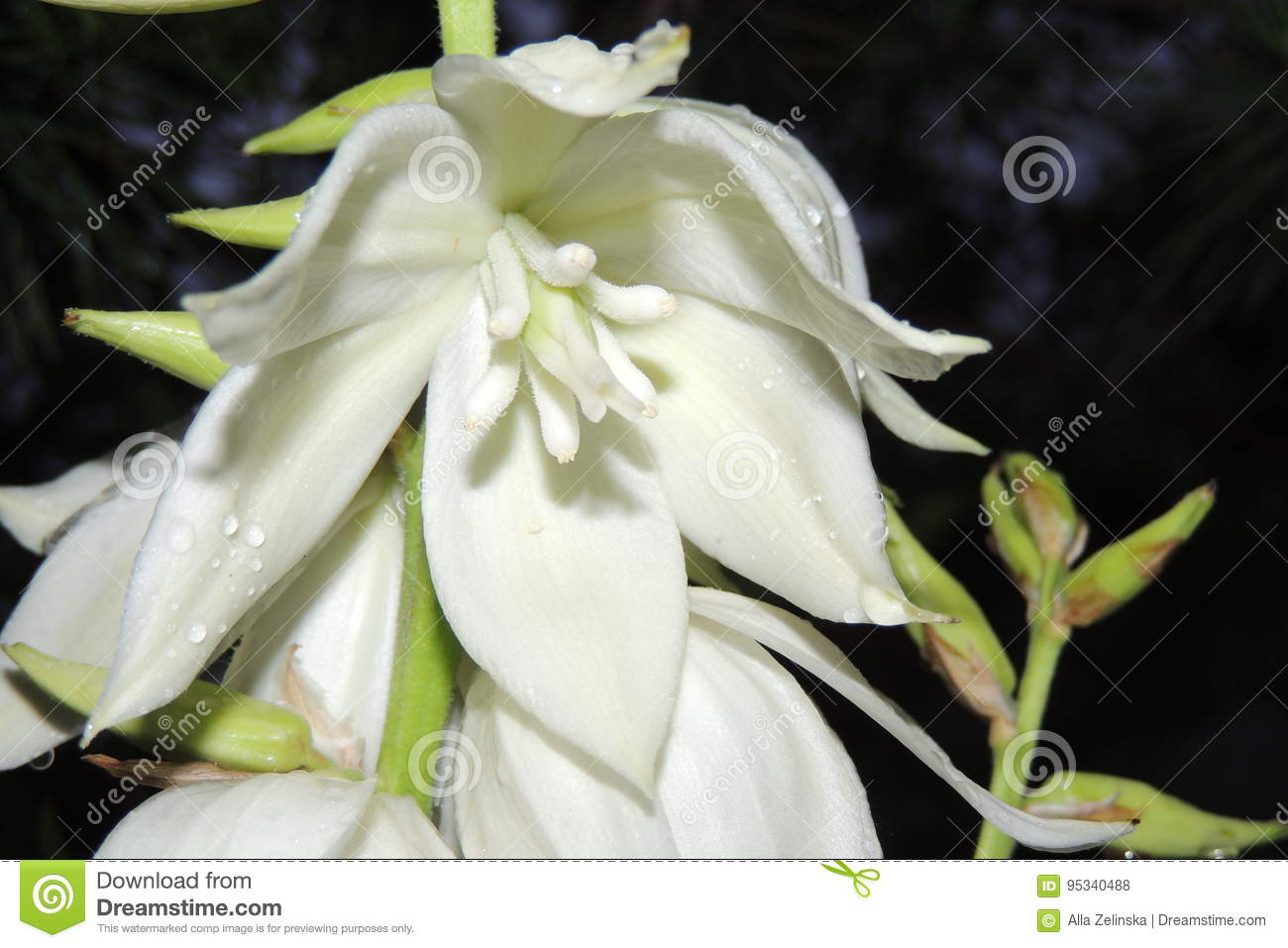Big white flowers in the garden on a black background stock photo download big white flowers in the garden on a black background stock photo image of mightylinksfo