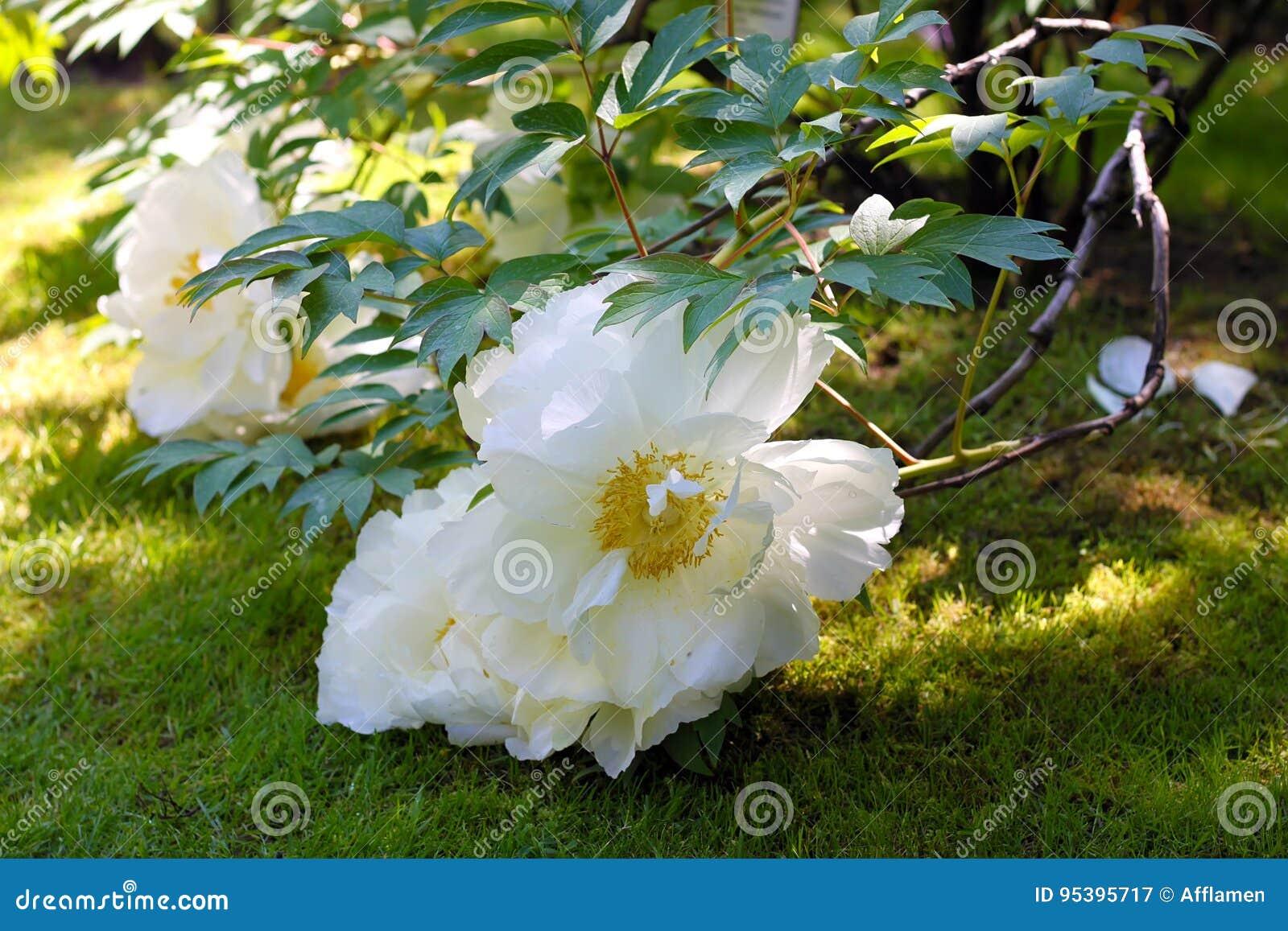 Big White Flowers Of Paeonia Suffruticosa Stock Image Image Of