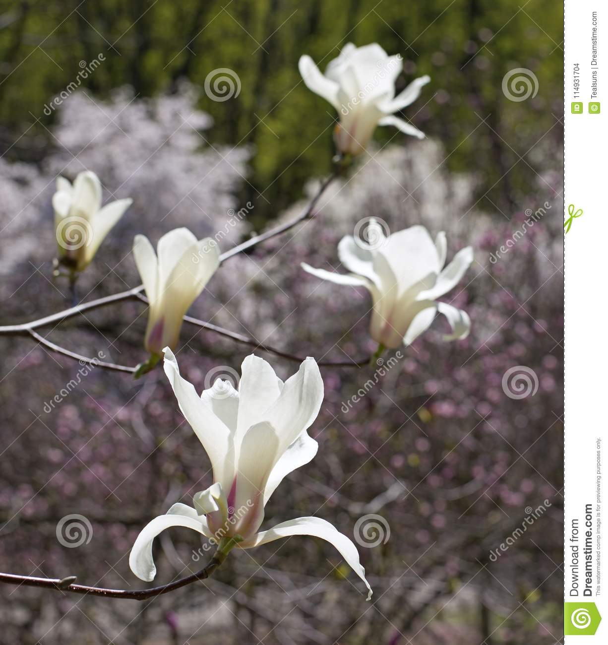 Big White Magnolia Flowers On The Magnolia Tree Stock Photo Image