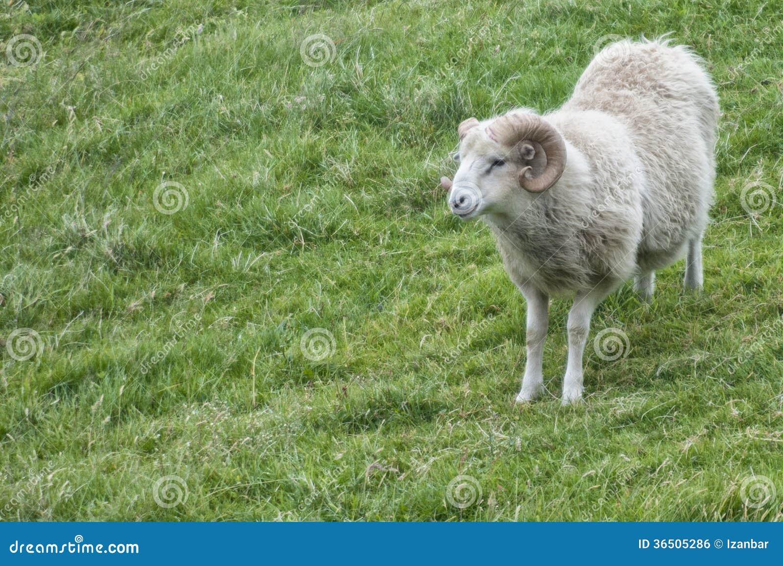 One sheep white background