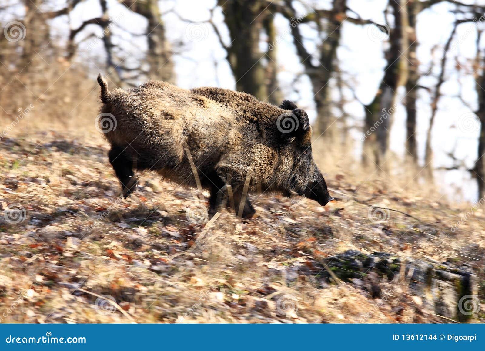 A big wild boar stock photo. Image of animal, wildlife ... Giant Wild Boar Photos