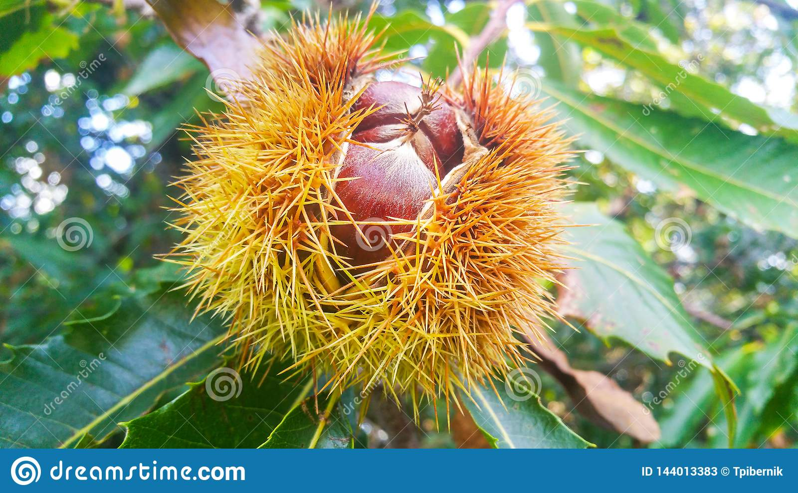 Big wild chestnuts close up on a brunch in an opened spiky shell growing on a tree