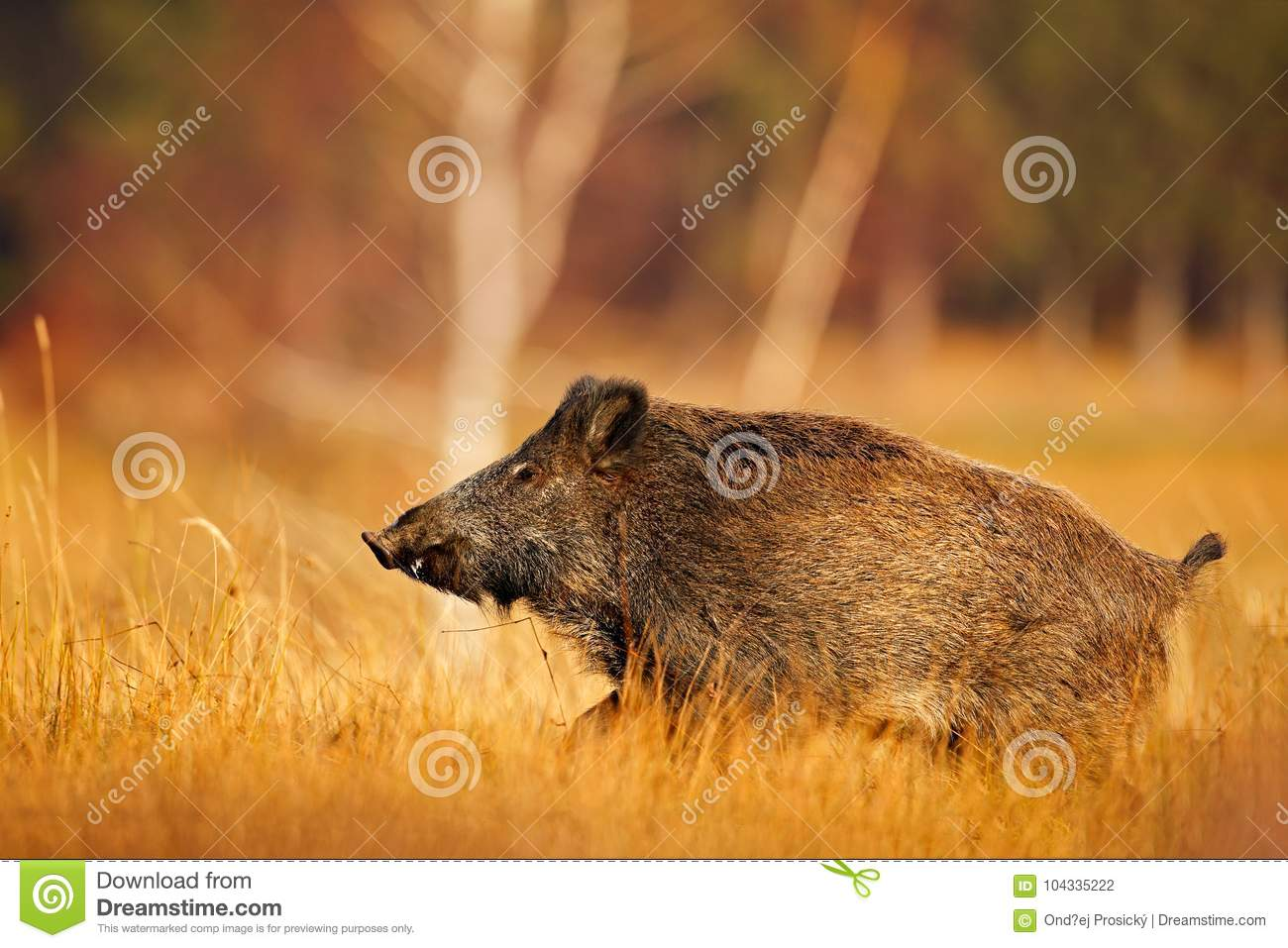 Big wild pig in grass meadow, animal running, Slovakia. Autumn in the forest. Wild boar, Sus scrofa, running in the grass meadow,