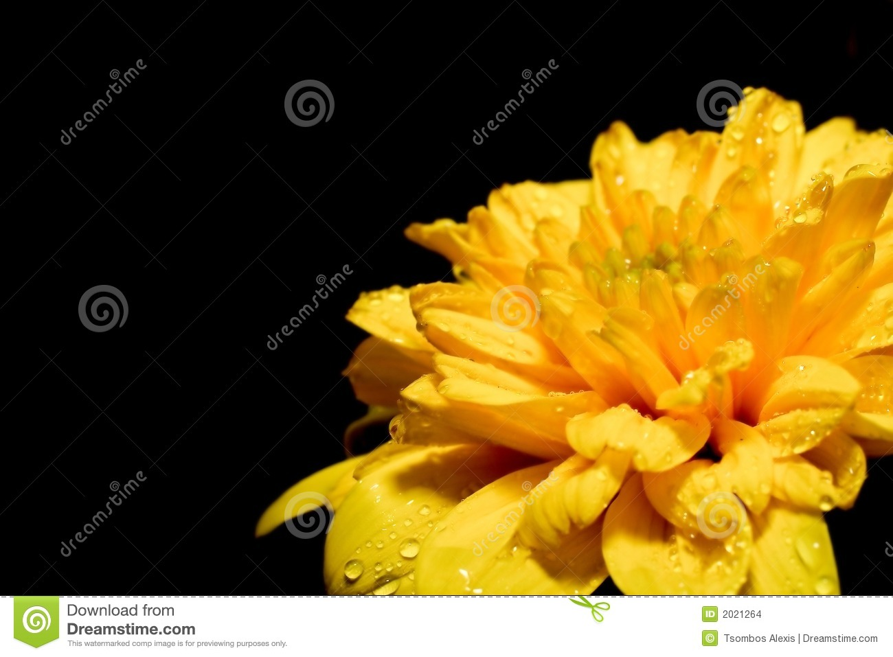 Big Yellow Flower On A Black Background In The Corner Stock Photo Image Of Corner Morning 2021264