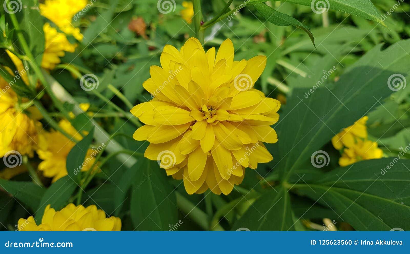 Big yellow flower in garden stock photo image of bouquet pion download big yellow flower in garden stock photo image of bouquet pion 125623560 mightylinksfo
