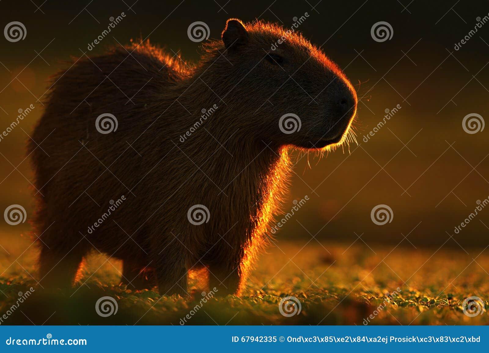 Biggest mouse around the world, Capybara, Hydrochoerus hydrochaeris, with evening light during sunset, Pantanal, Brazil