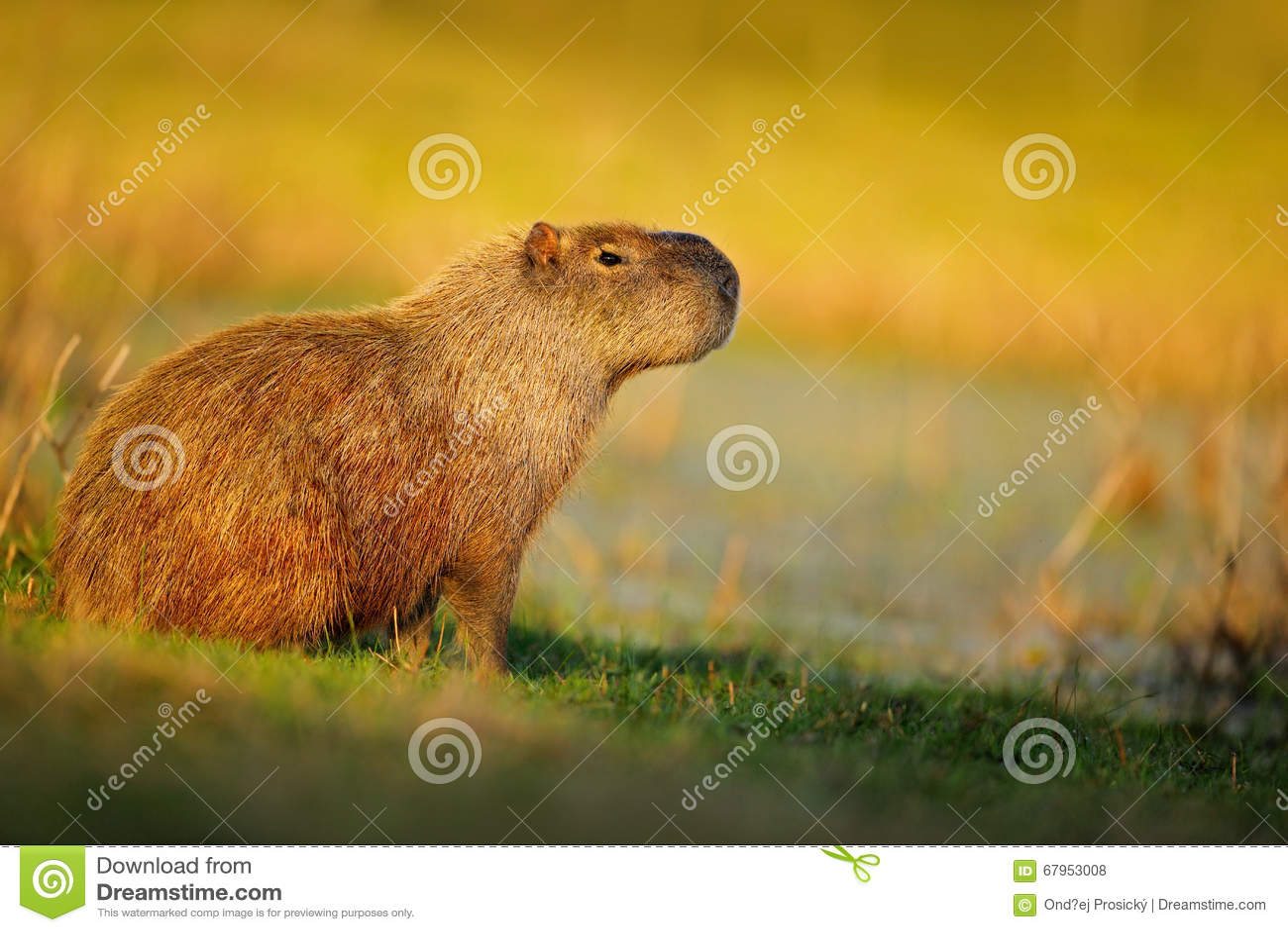 Biggest mouse, Capybara, Hydrochoerus hydrochaeris, with evening light during sunset, Pantanal, Brazil