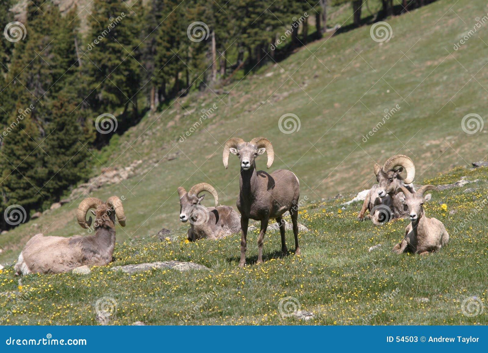Bighorn κοπάδι