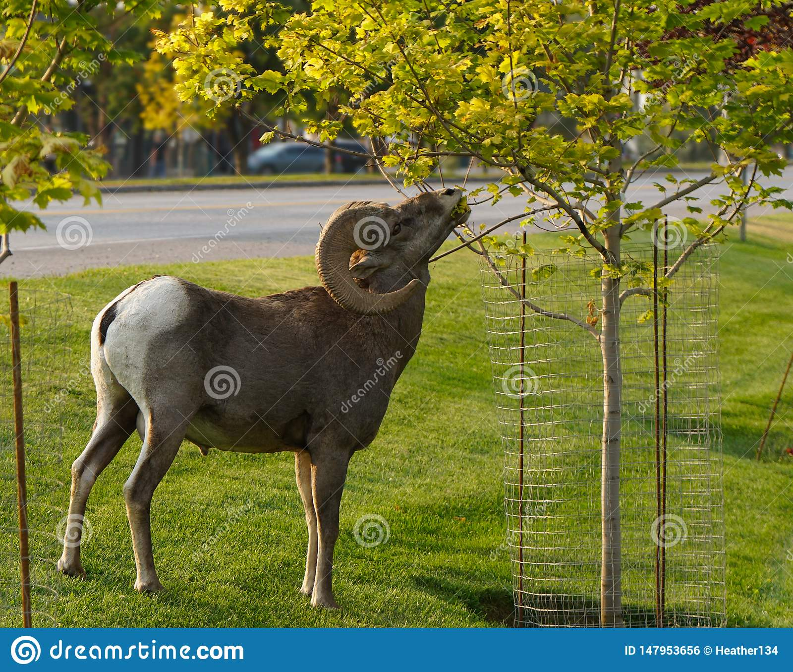 A Bighorn Ram Looking for Some City Snacking