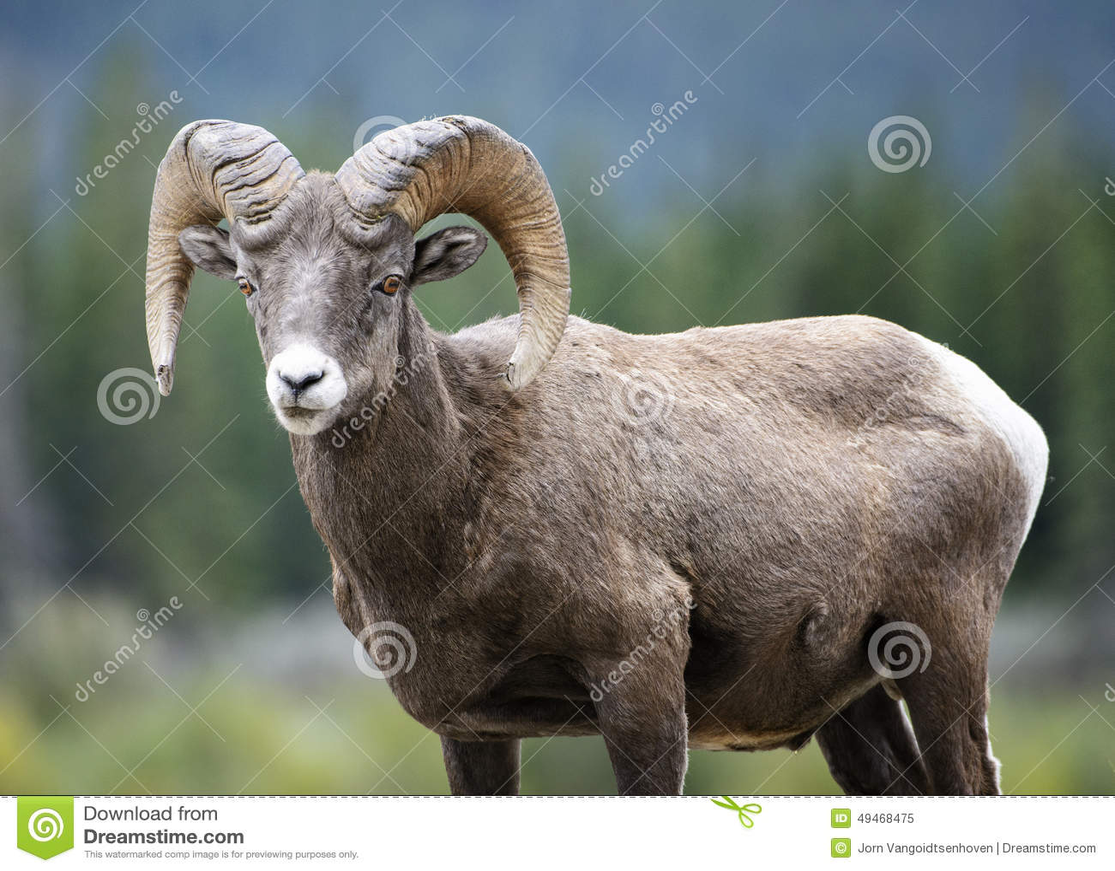 Bighorn-Schafe Ram