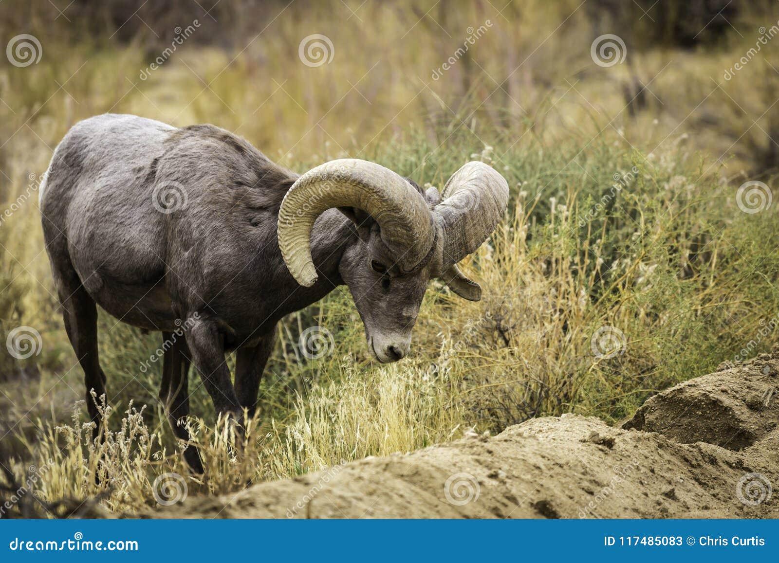Bighornfår Ram Grazes i Joshua Tree National Park