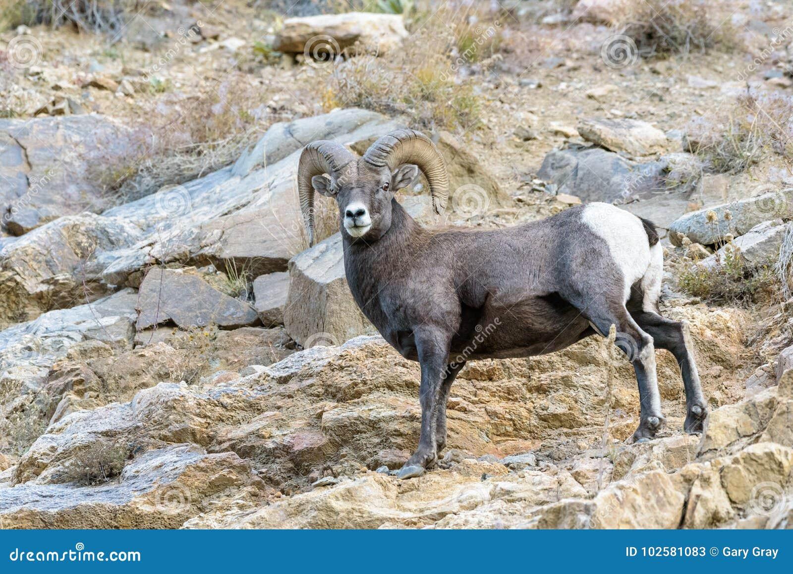Bighornram - Colorado Rocky Mountain Bighorn Sheep