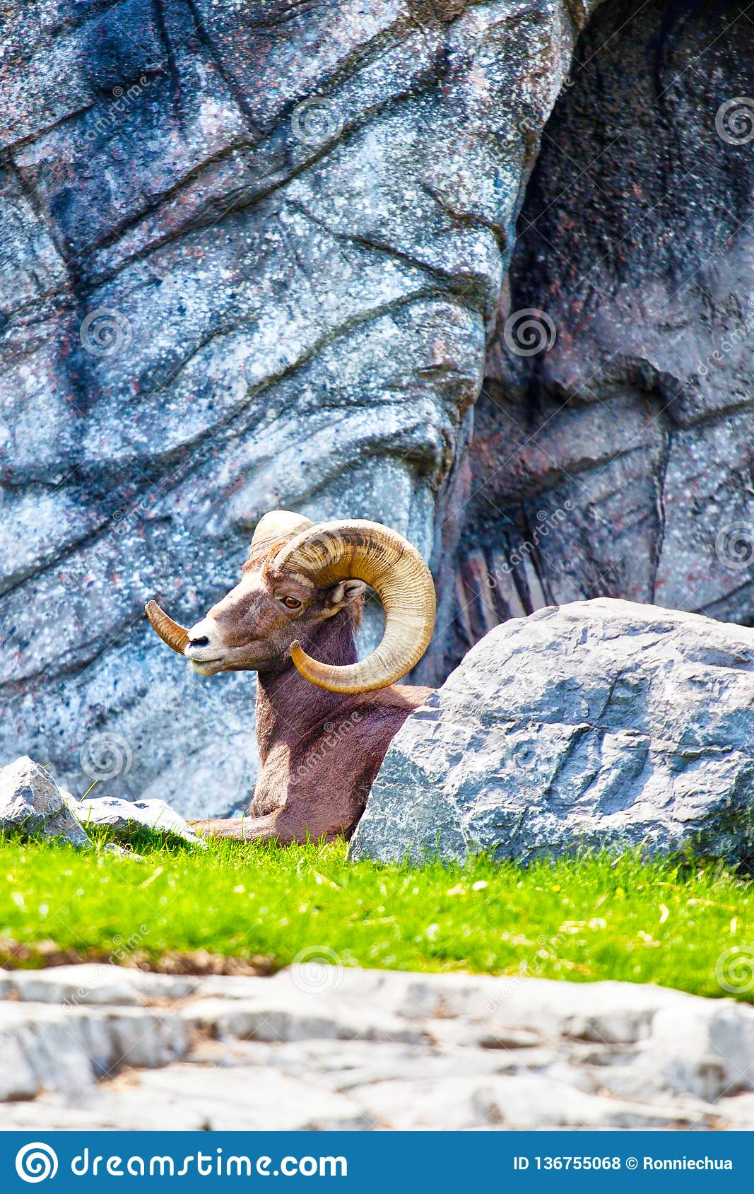 Bighornschapen die in Rocky Mountains rusten