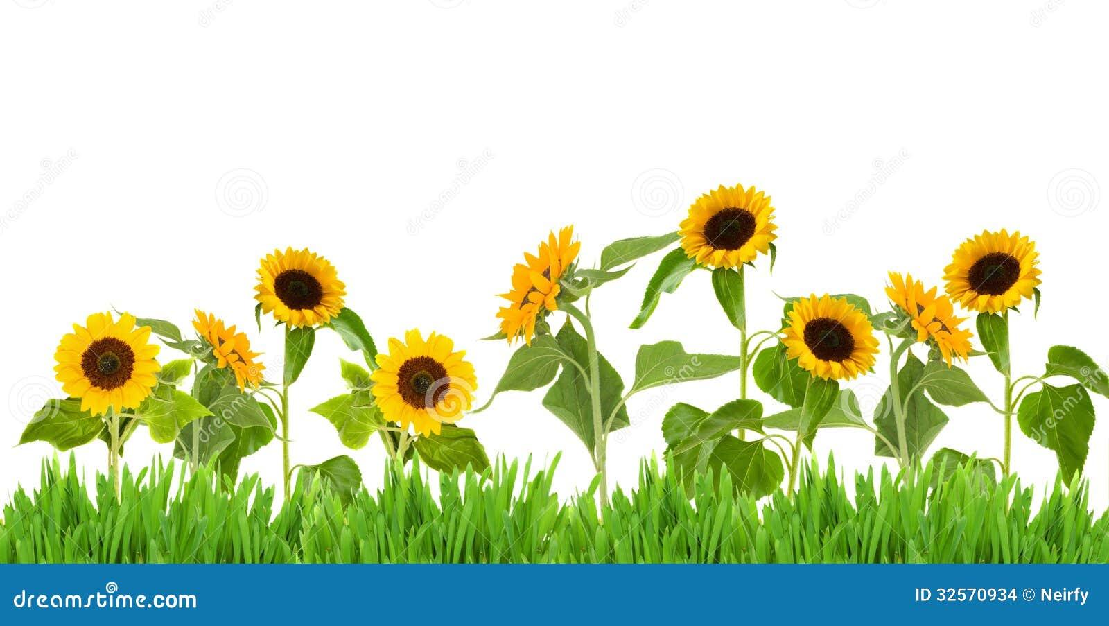 Bight Sunflower Border Stock Images - Image: 32570934
