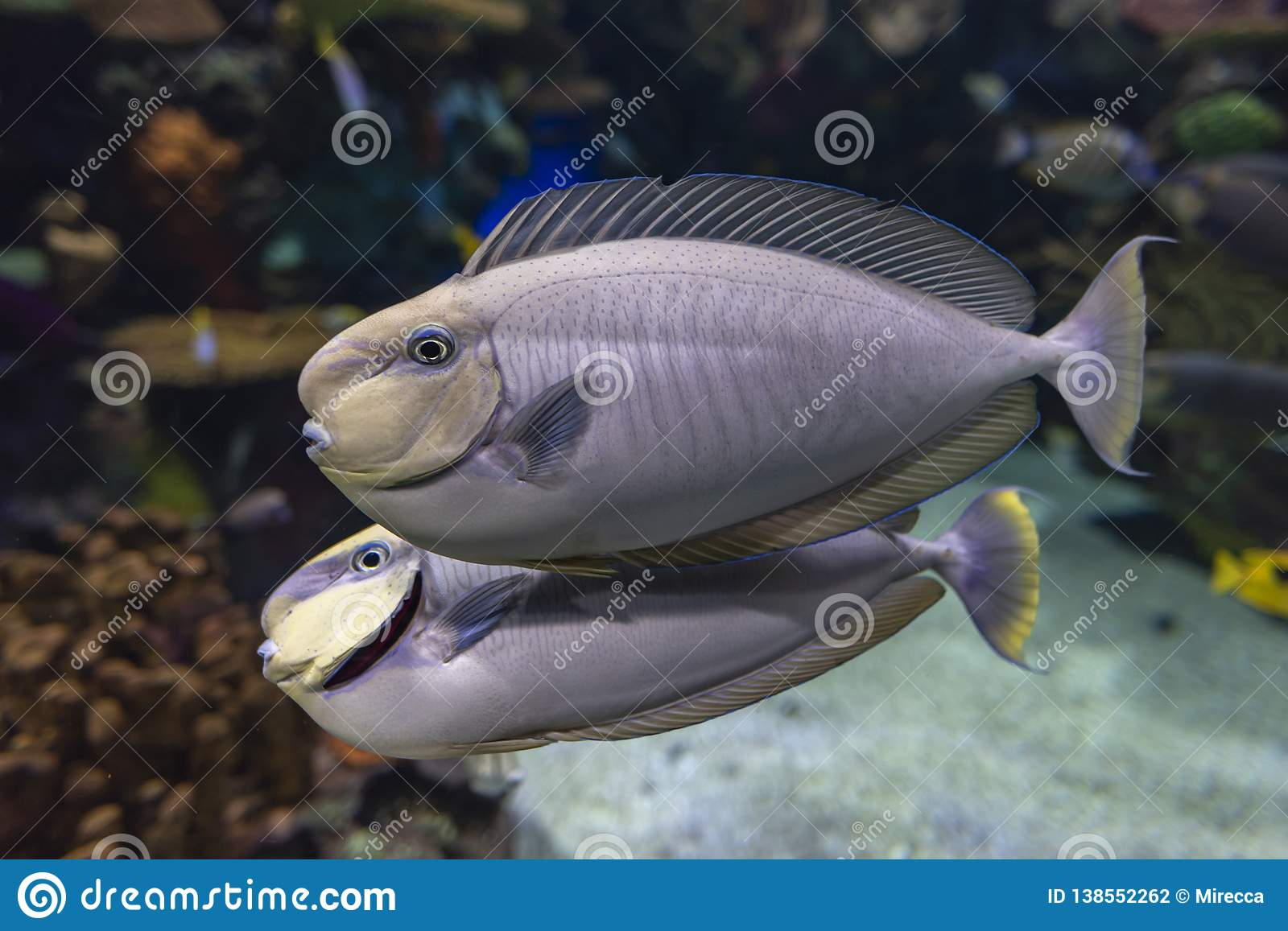 Bignose Unicornfish Naso Vlamingii Tropical Sea And Ocean Fish