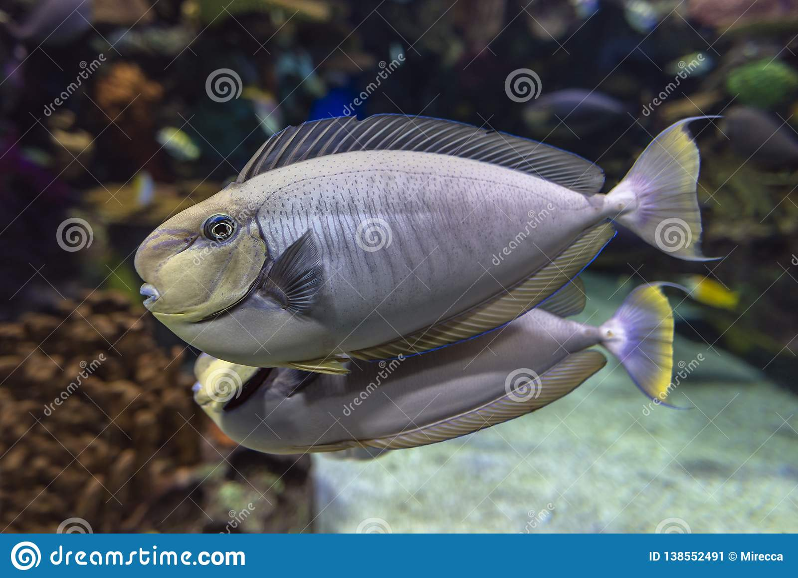 Bignose Unicornfish Naso Vlamingii Tropical Sea And Ocean Fish