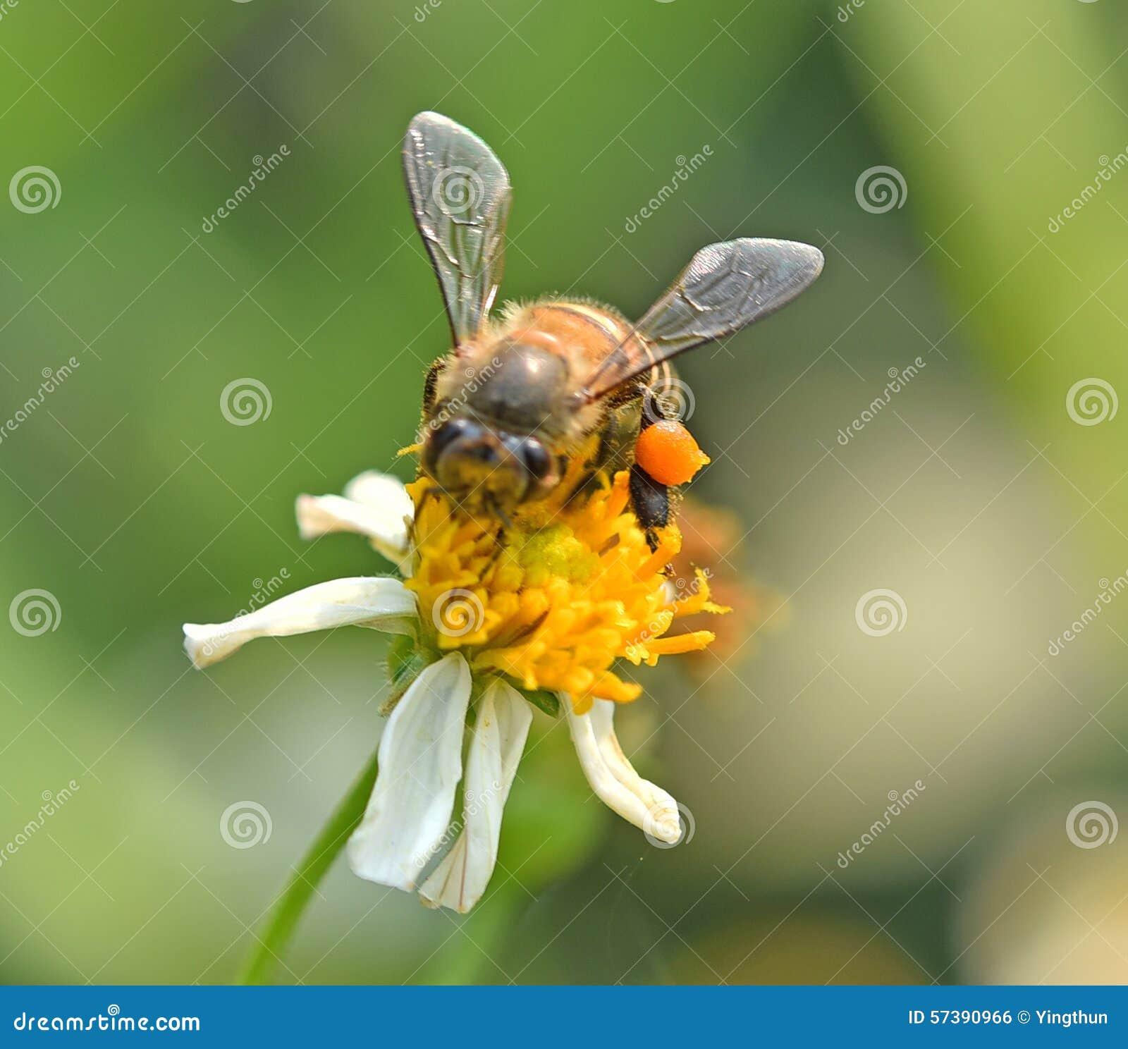 Bij bij bloem het achtergrondonduidelijke beeld