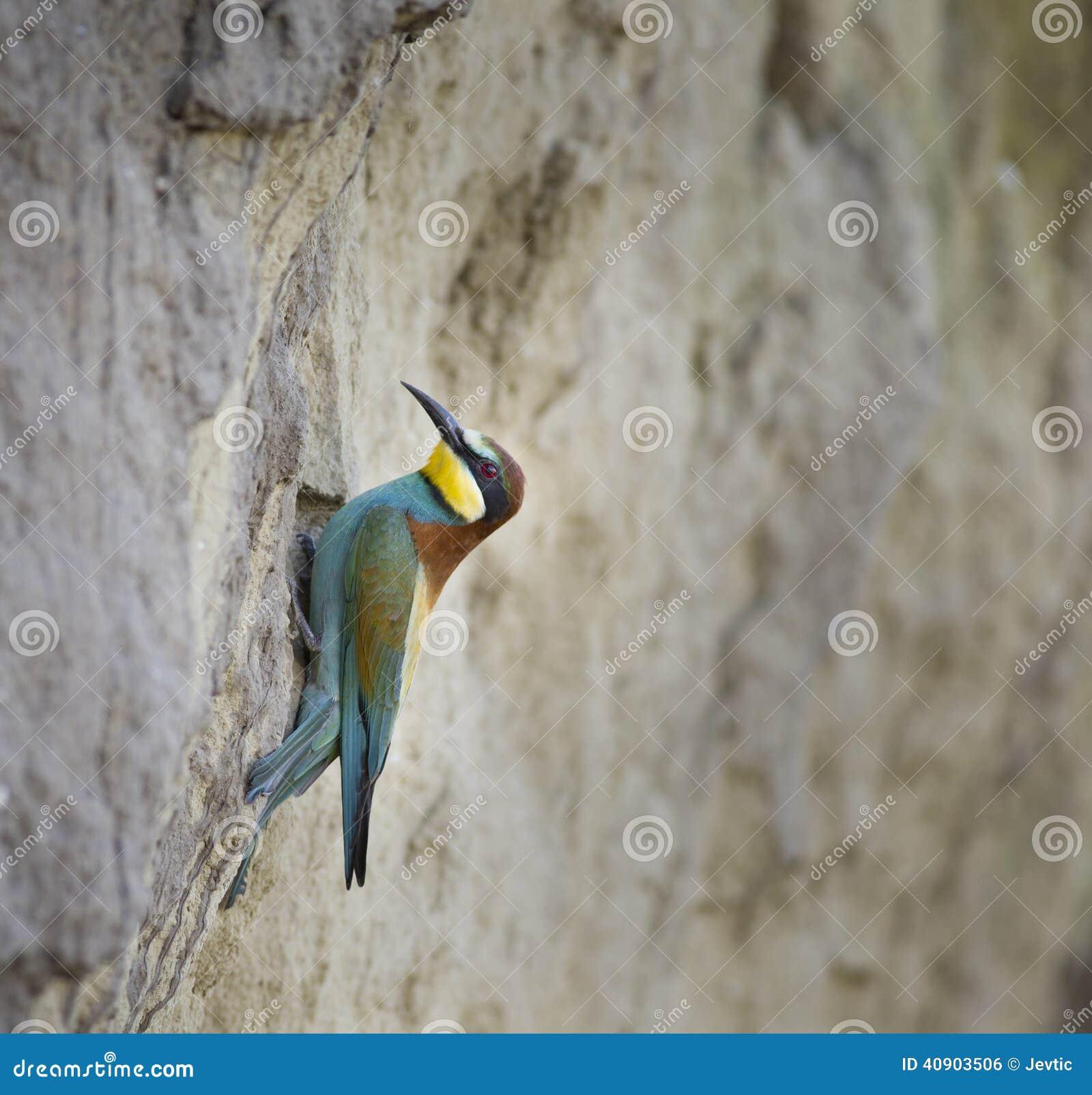 Bij-eter op nest