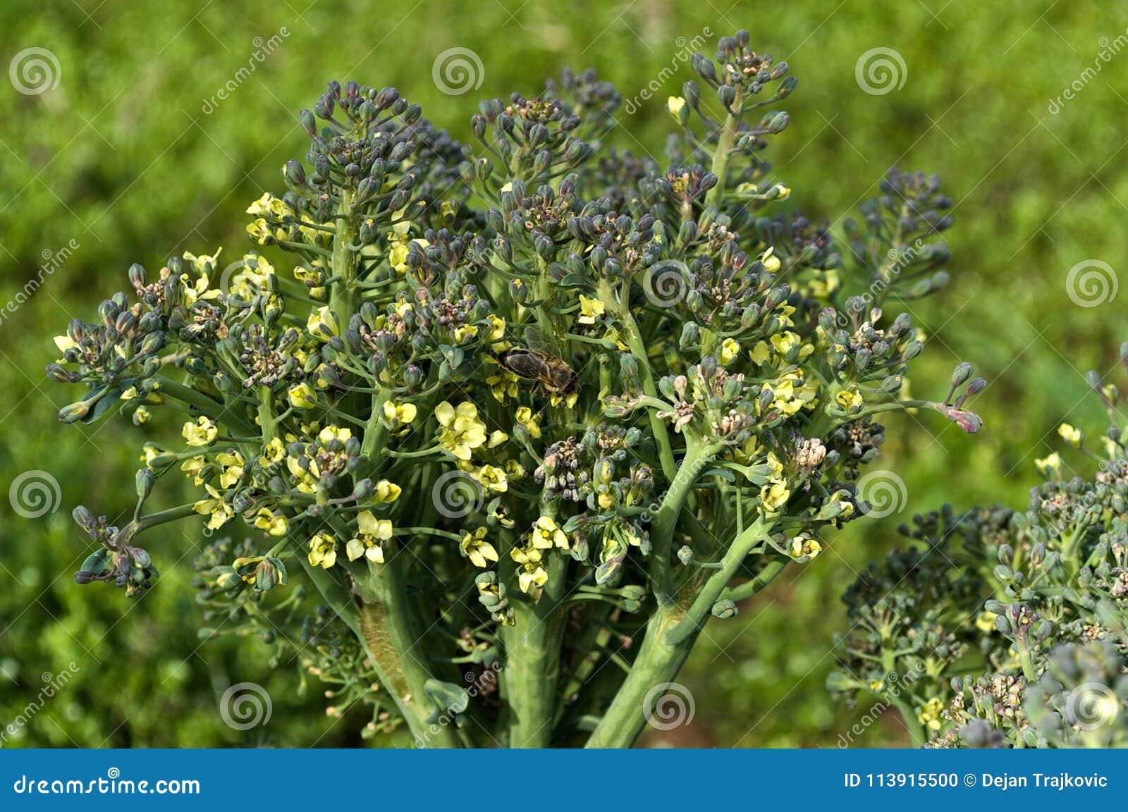 Bij op de broccolibloem