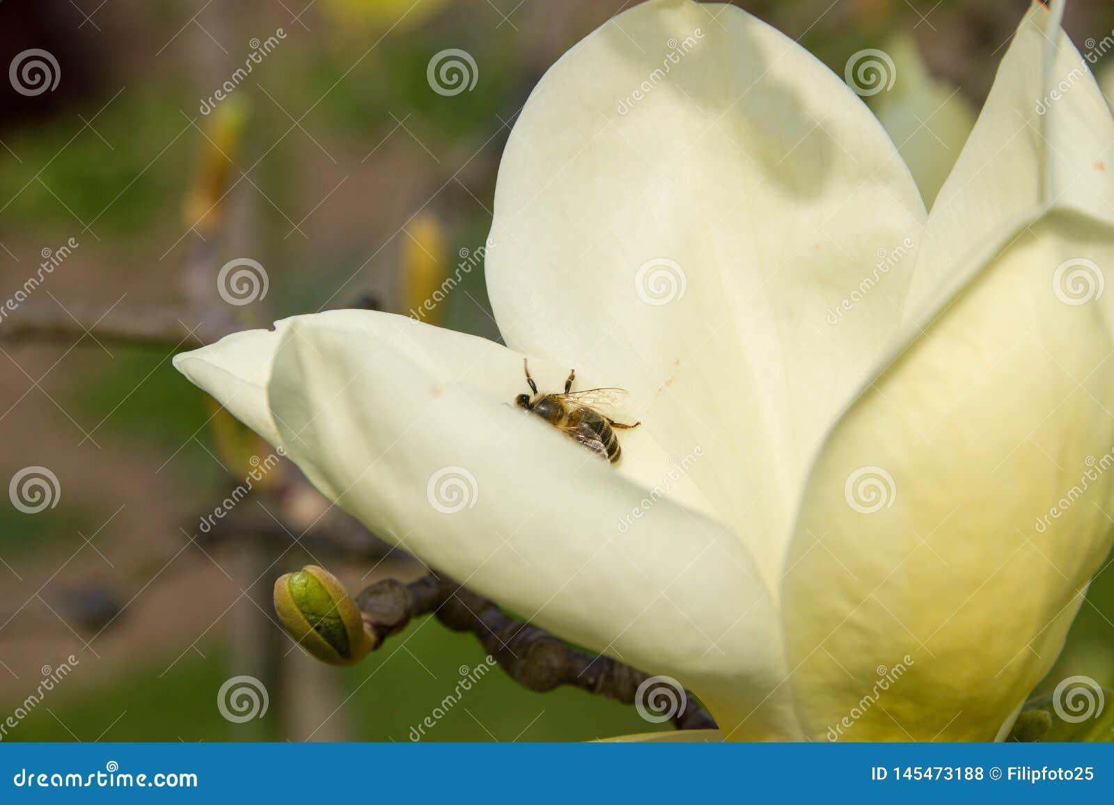 Bij op magnolia