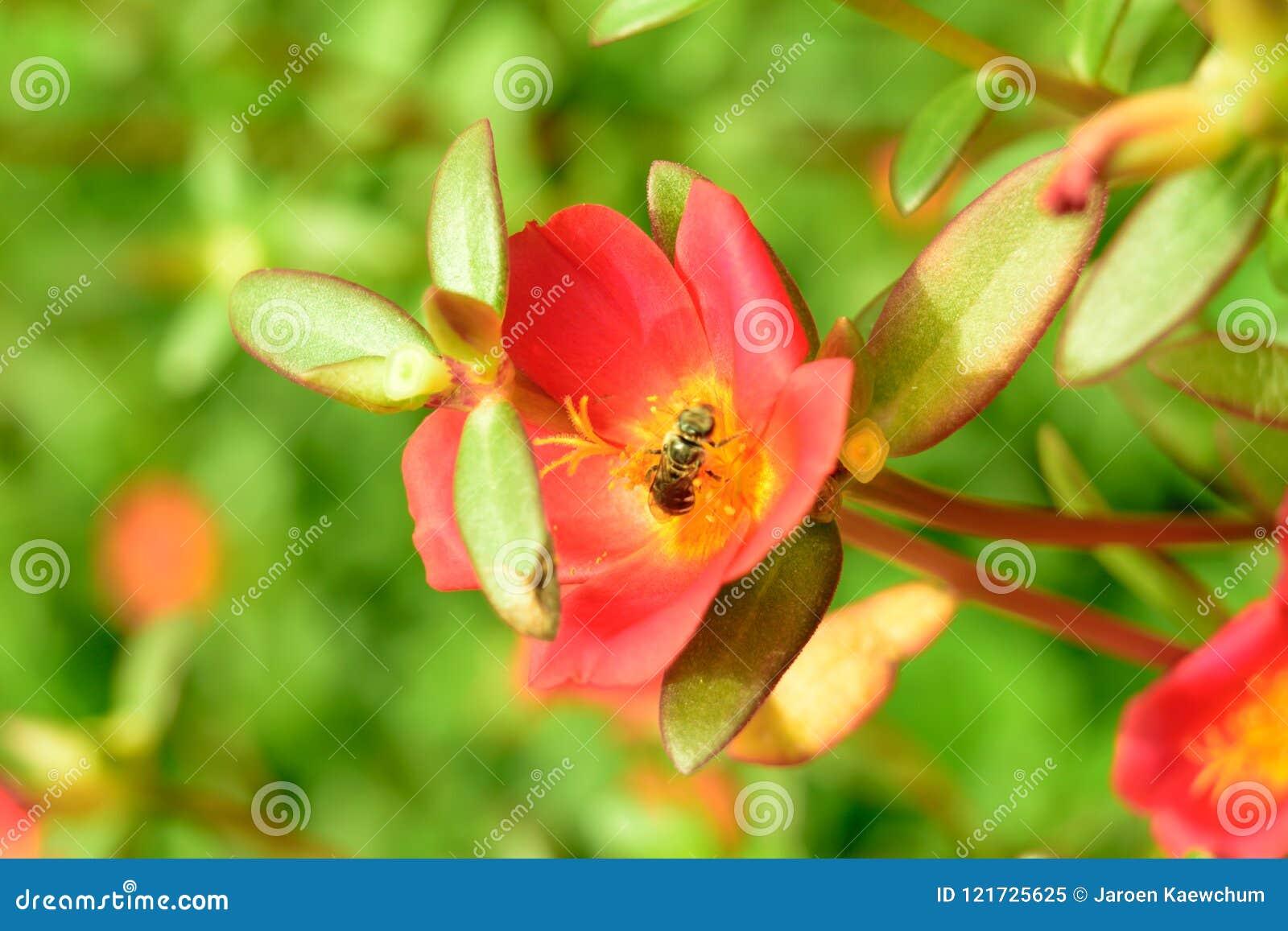 Bij op rode bloem