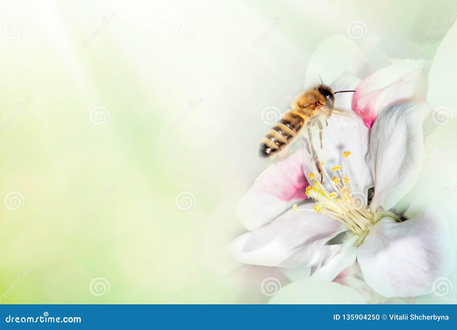 Bij op tak van bloesemkers in de macro van het de lenteclose-up op aard op groene en gele blauwe bloemenachtergrond Voor Pasen-gr