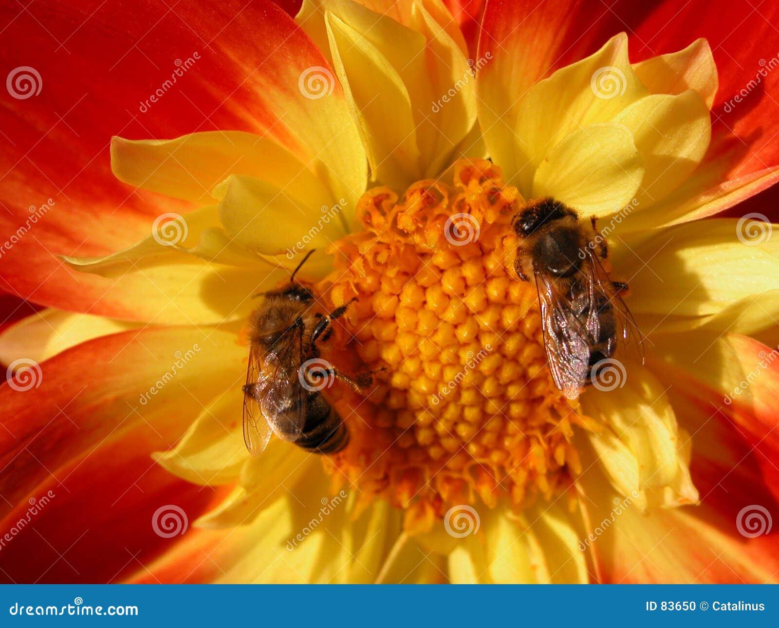 Bijen - het teamwerk
