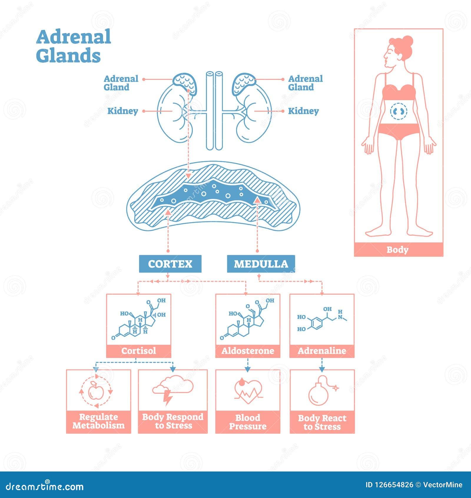 Bijnieren van Endocrien Systeem Het medische diagram van de wetenschaps vectorillustratie
