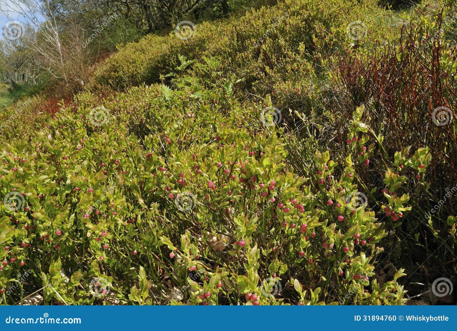 Bilberry scrub stock photo image 31894760 for Large flowering shrubs