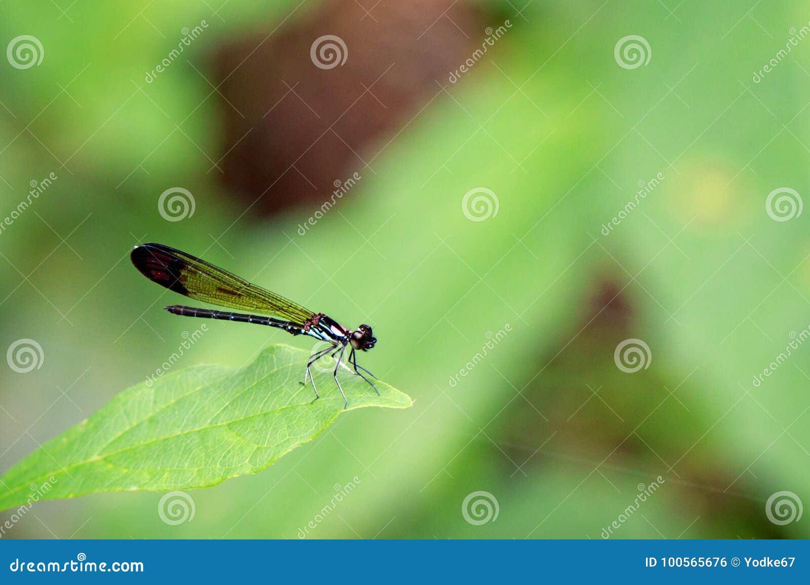 Bild allgemeinen blauen Juwel-Libelle Helioeypha-biforata
