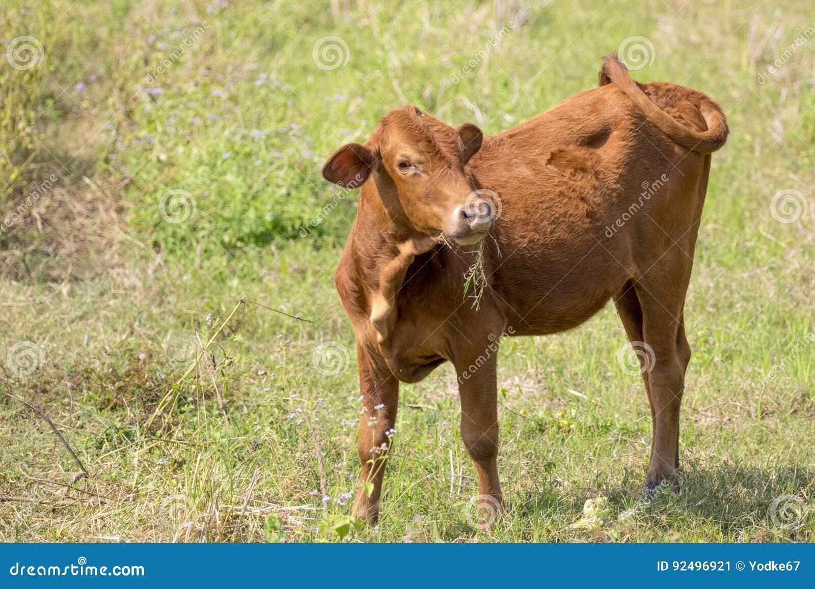 Bild av den bruna kon på naturbakgrund