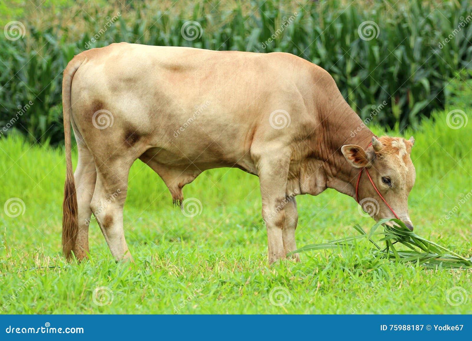 Bild av en brun ko