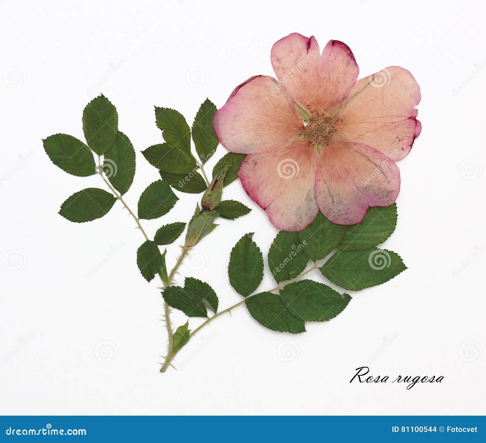 blomnamn på latin