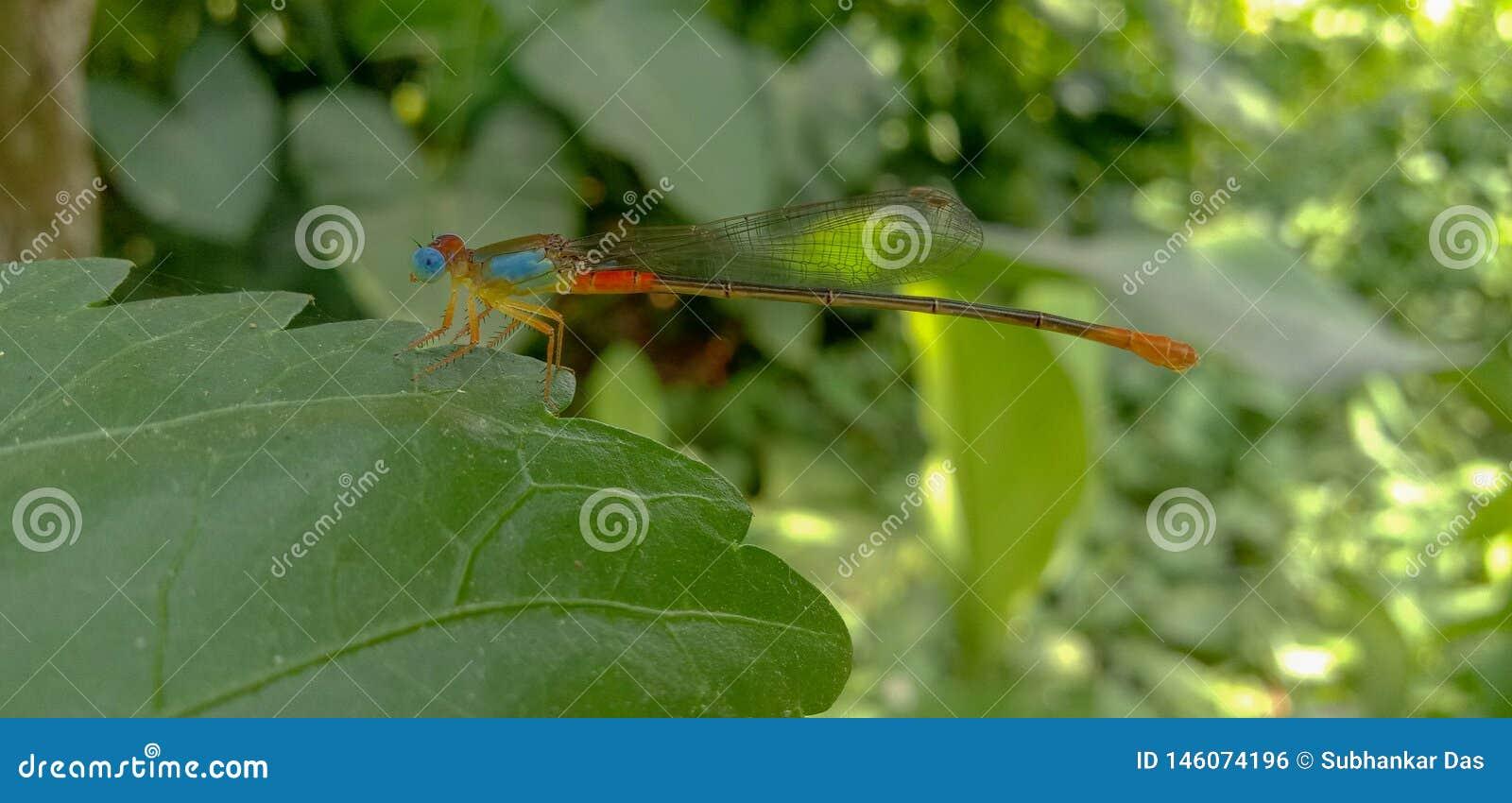 Bild des blauäugigen Libelleninsekts in einem Garten/in einem Wald mit unscharfem Hintergrund
