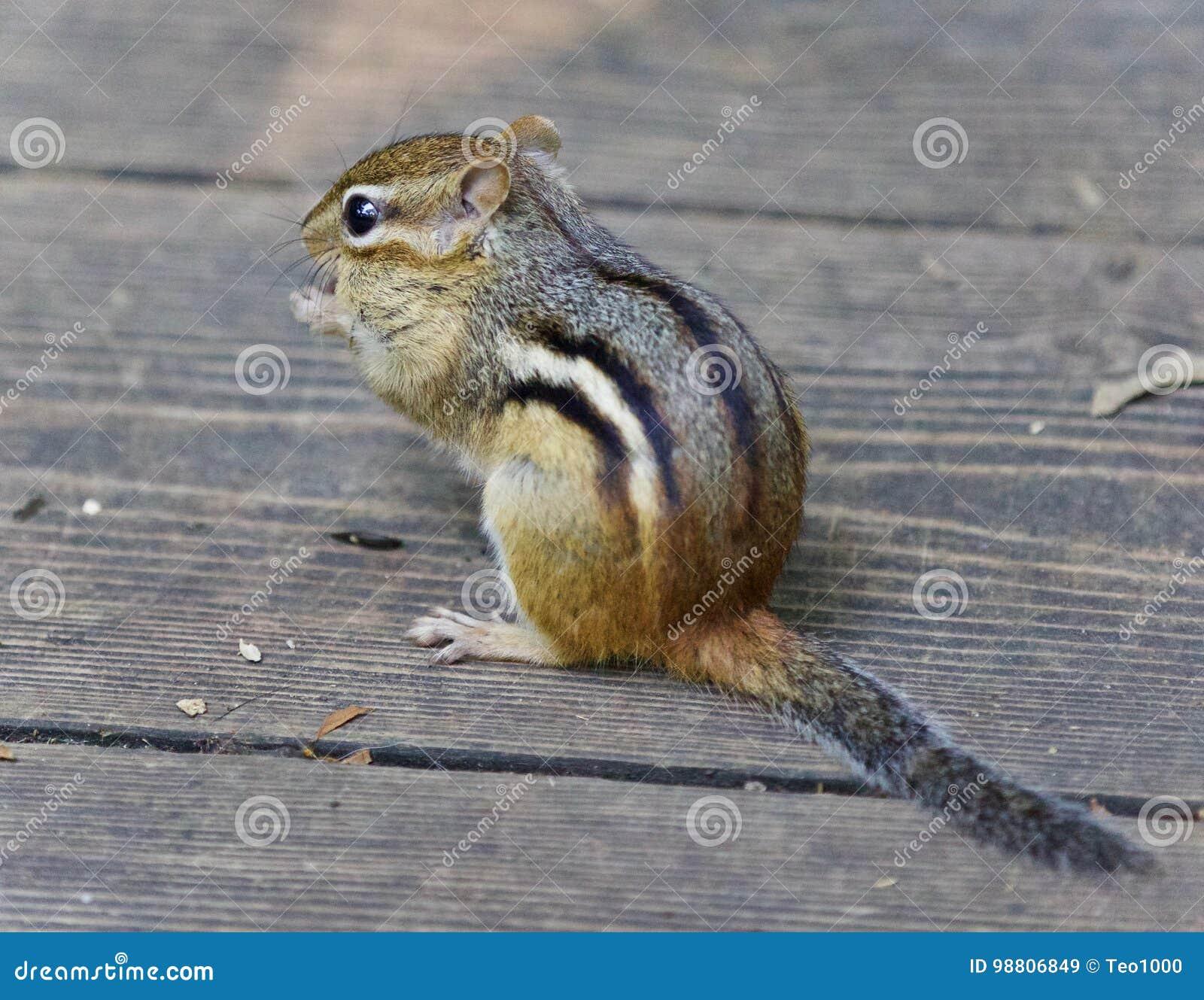 Bild eines netten lustigen Streifenhörnchens, das etwas isst
