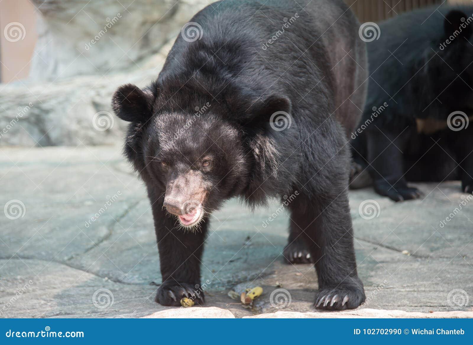 Bild eines schwarzen Bären