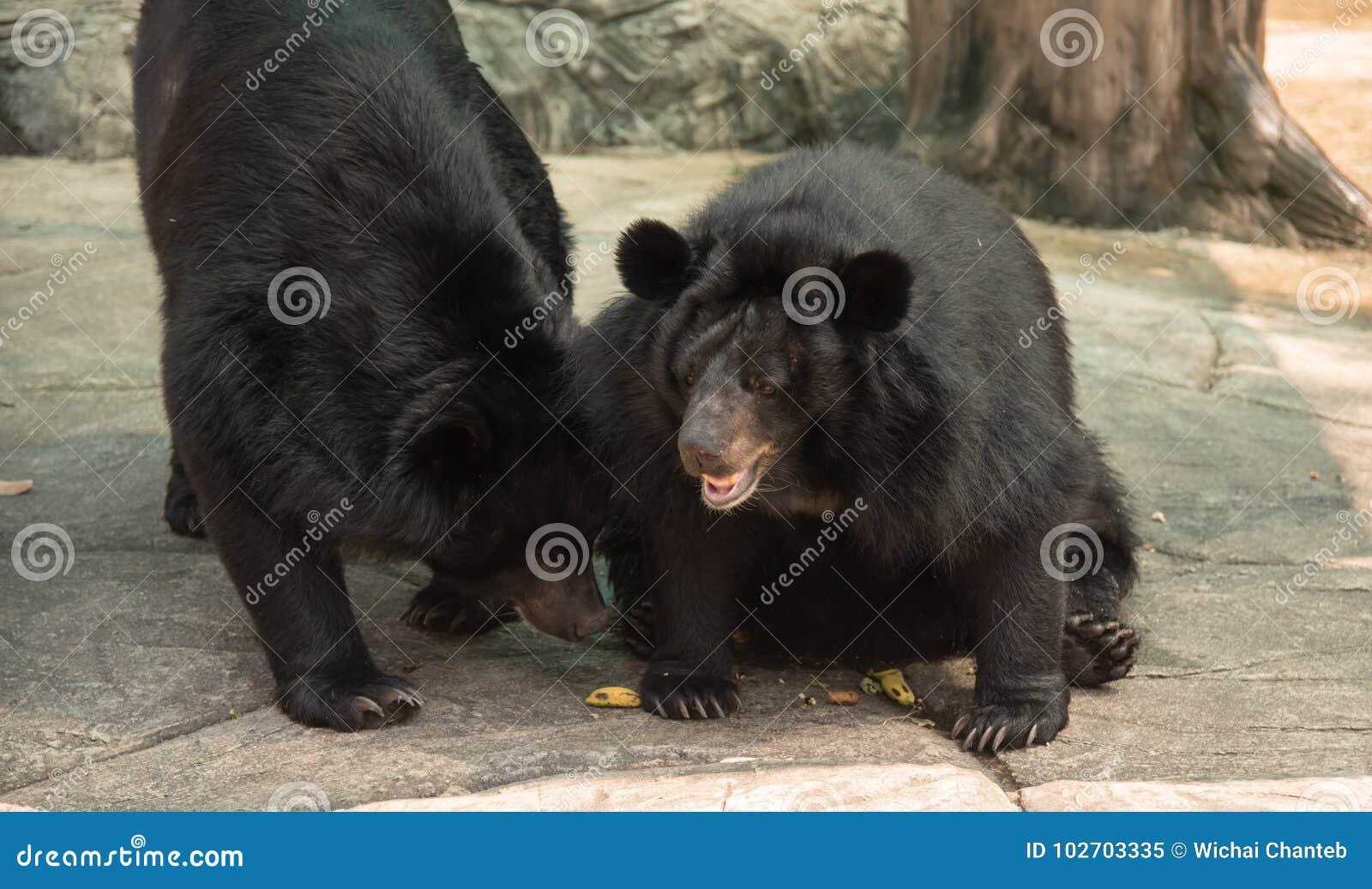 Bild eines schwarzen Bären oder des Büffel-Bären, Tier der wild lebenden Tiere
