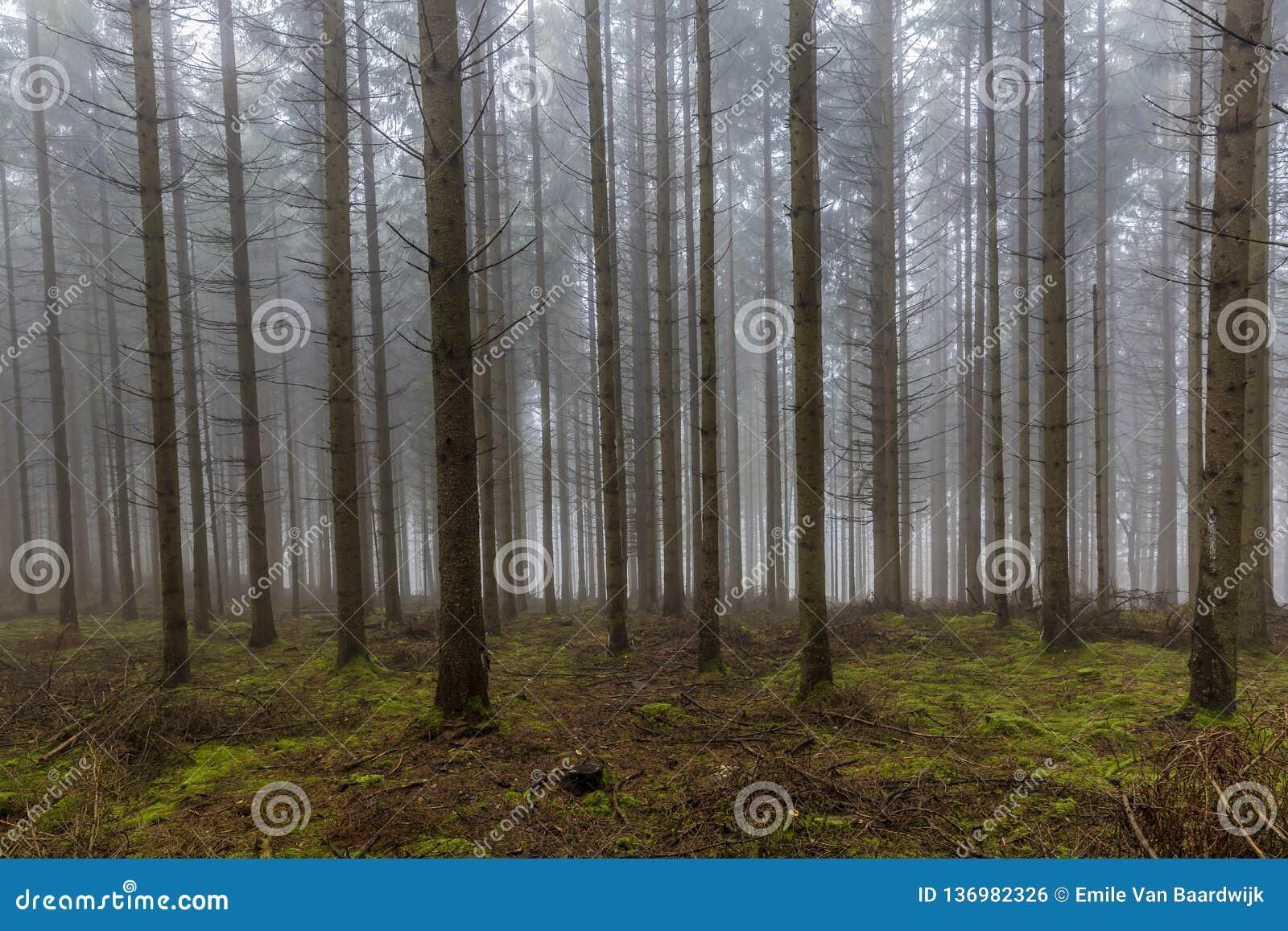 Bilden av högväxt sörjer träd i skogen med mossa och filialer på jordningen med mycket dimma