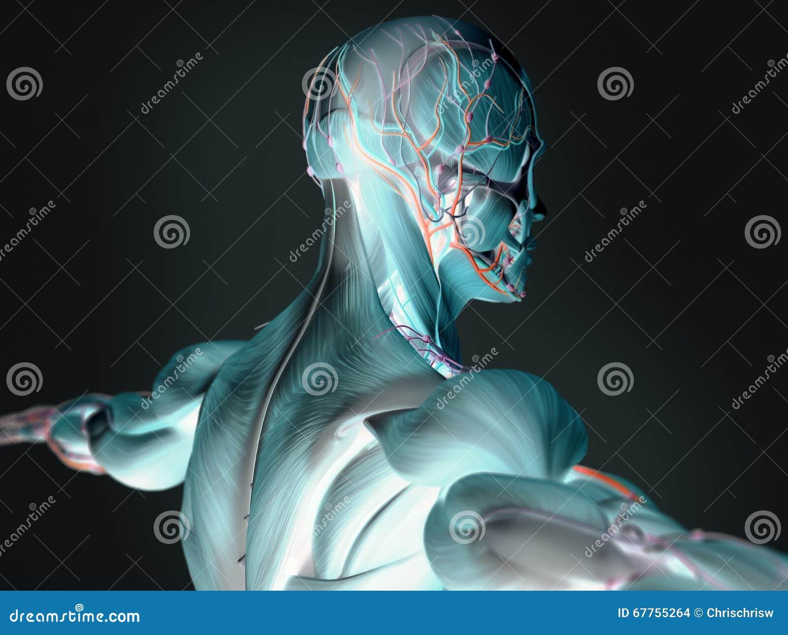 Bilder 3D Der Menschlichen Anatomie Stockfoto - Bild von zeichnung ...