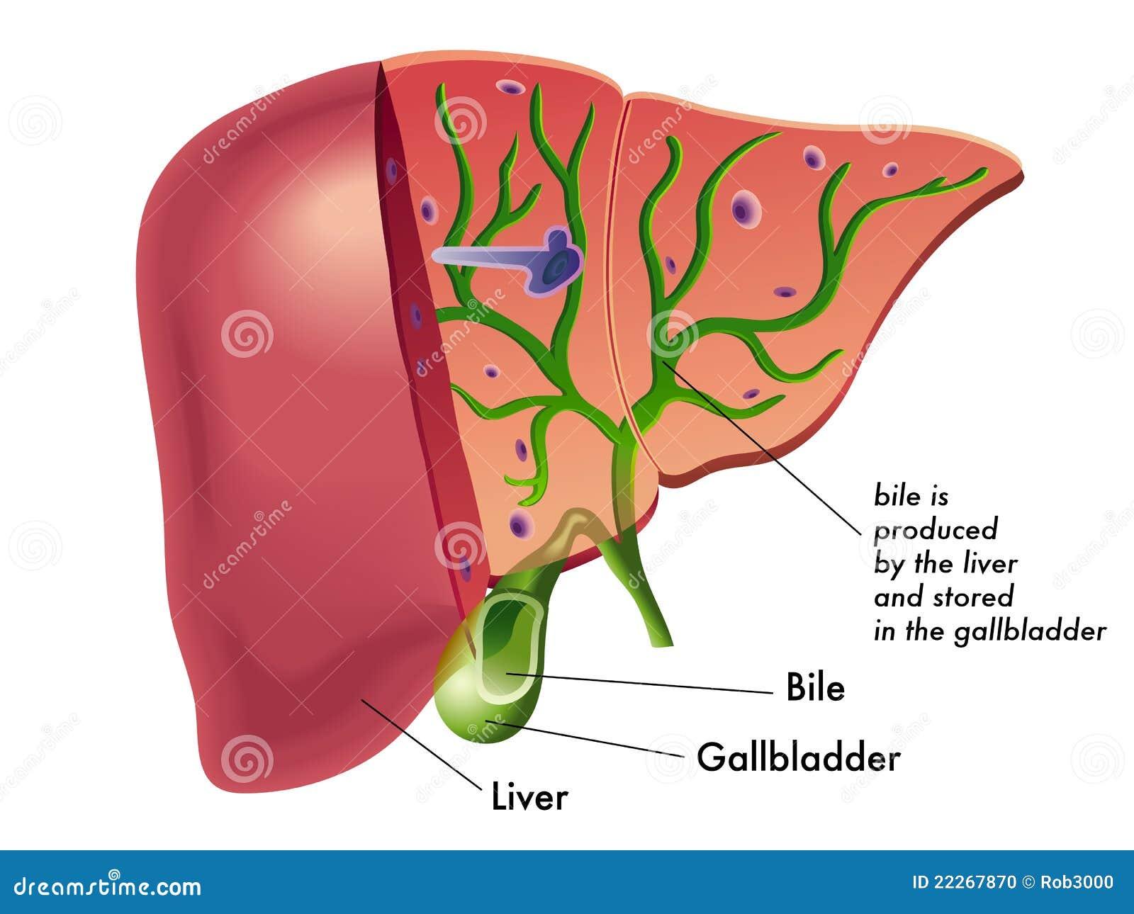Bile Stock Vector Illustration Of Bilirubin Gallstones 22267870